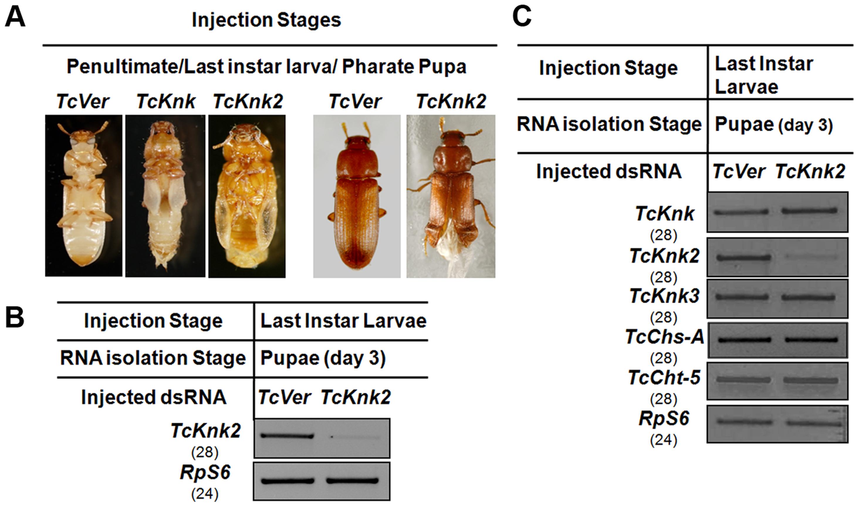 Effect of <i>TcKnk2</i> dsRNA-treatment on the development of <i>T. castaneum</i>.