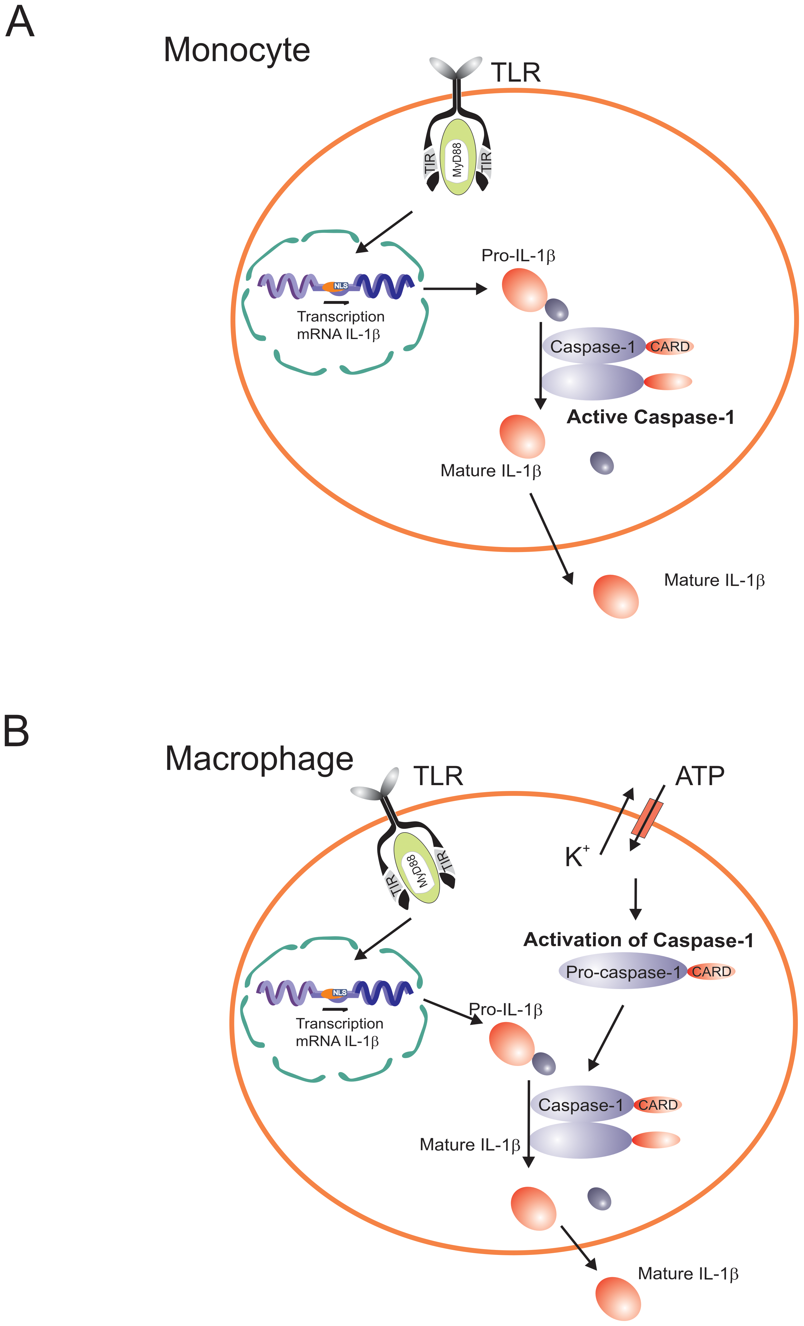 Diagram representing the differential caspase-1/IL-1β activation pathways in monocytes and macrophages.