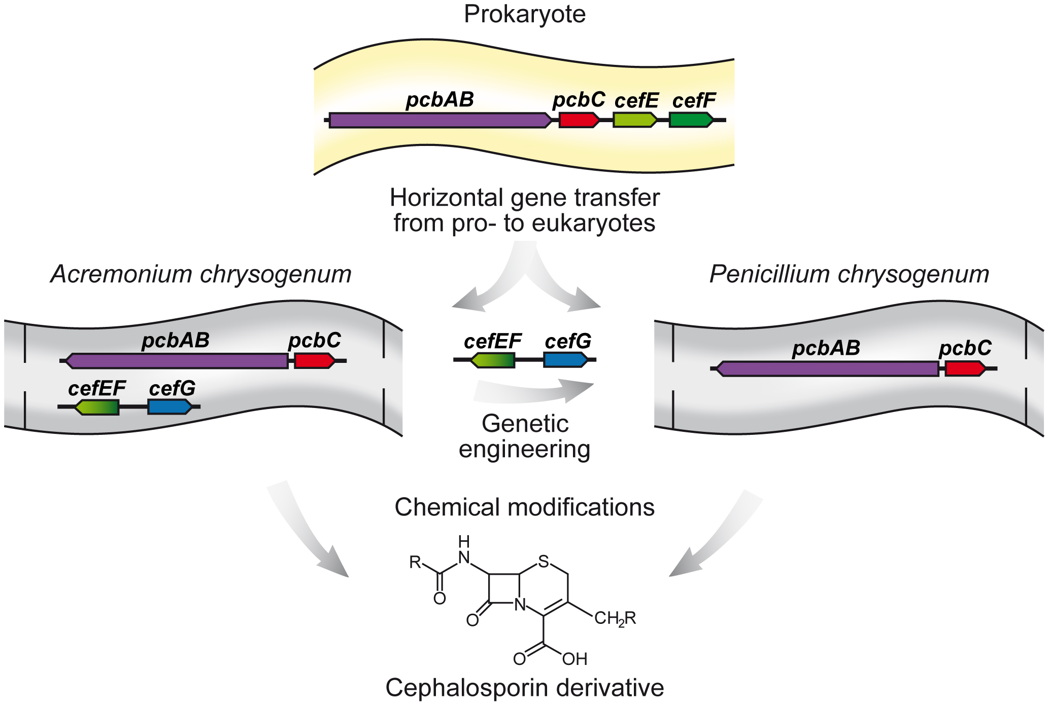 Horizontal gene transfer of beta-lactam biosynthesis genes from prokaryotes to eukaryotes.