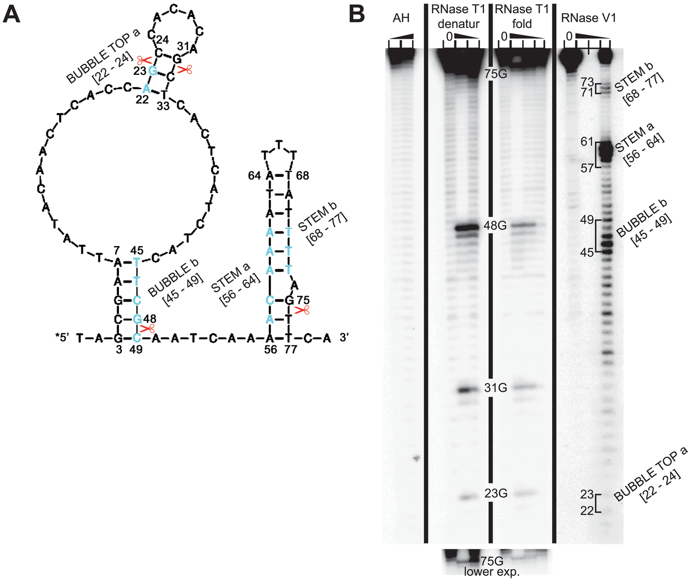 RNA structure probing of the 5′ enhancer of uORF1.