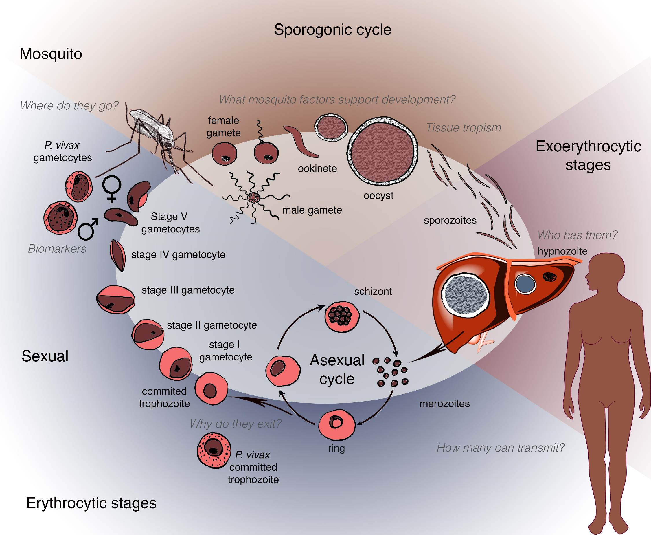 Schematic depicting the human and mosquito life cycles of <i>Plasmodium</i>, highlighting critical questions at specific points within the life cycle.