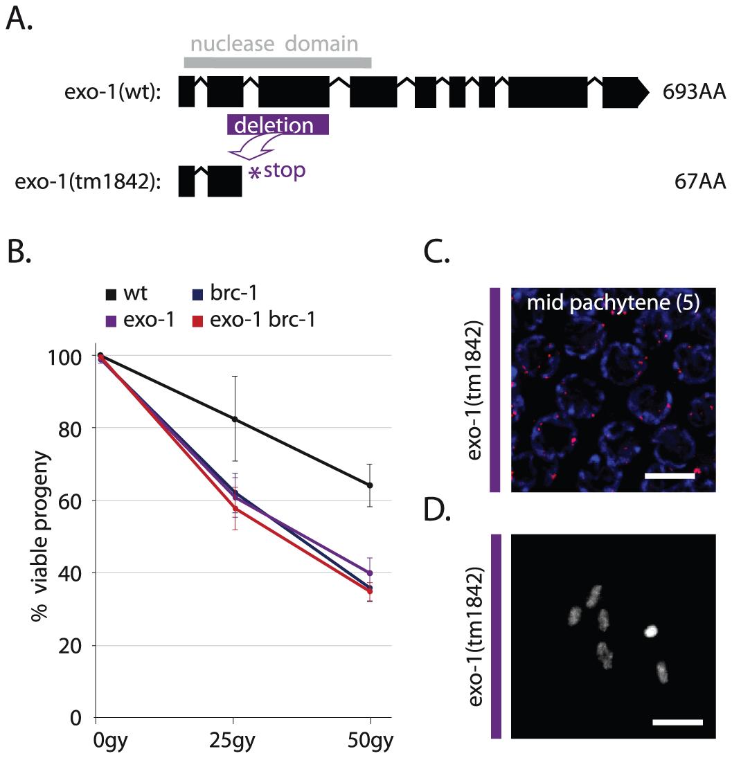 EXO-1 promotes DSB repair in germ cells.