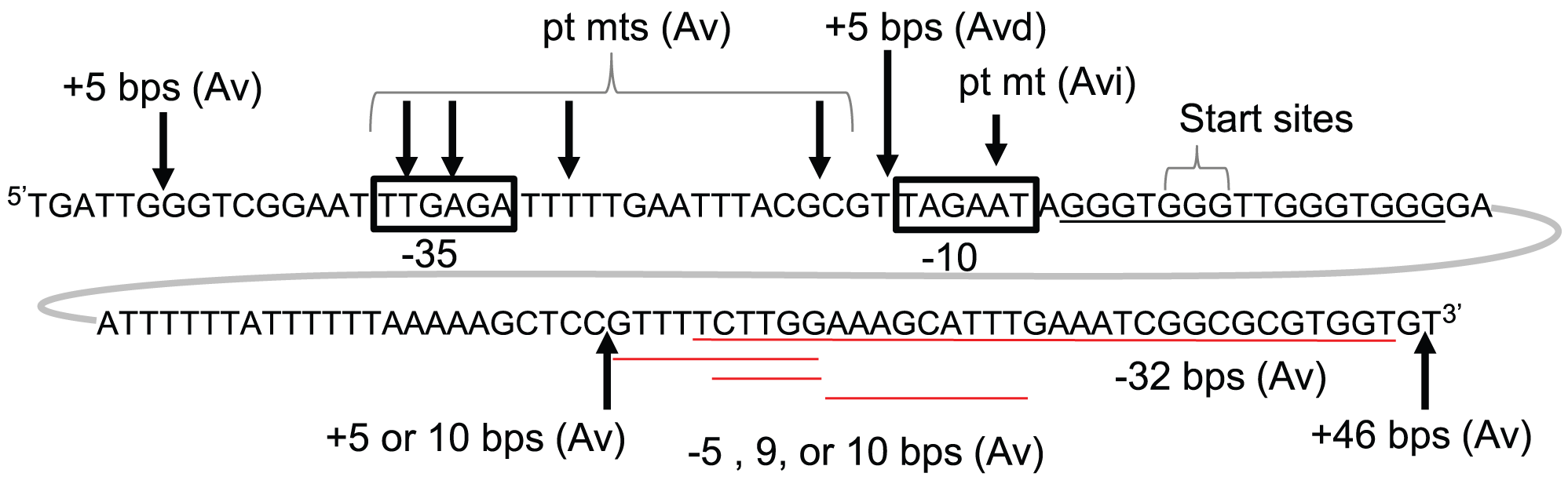 Genetic analysis of <i>pilE</i> G4-associated sRNA.