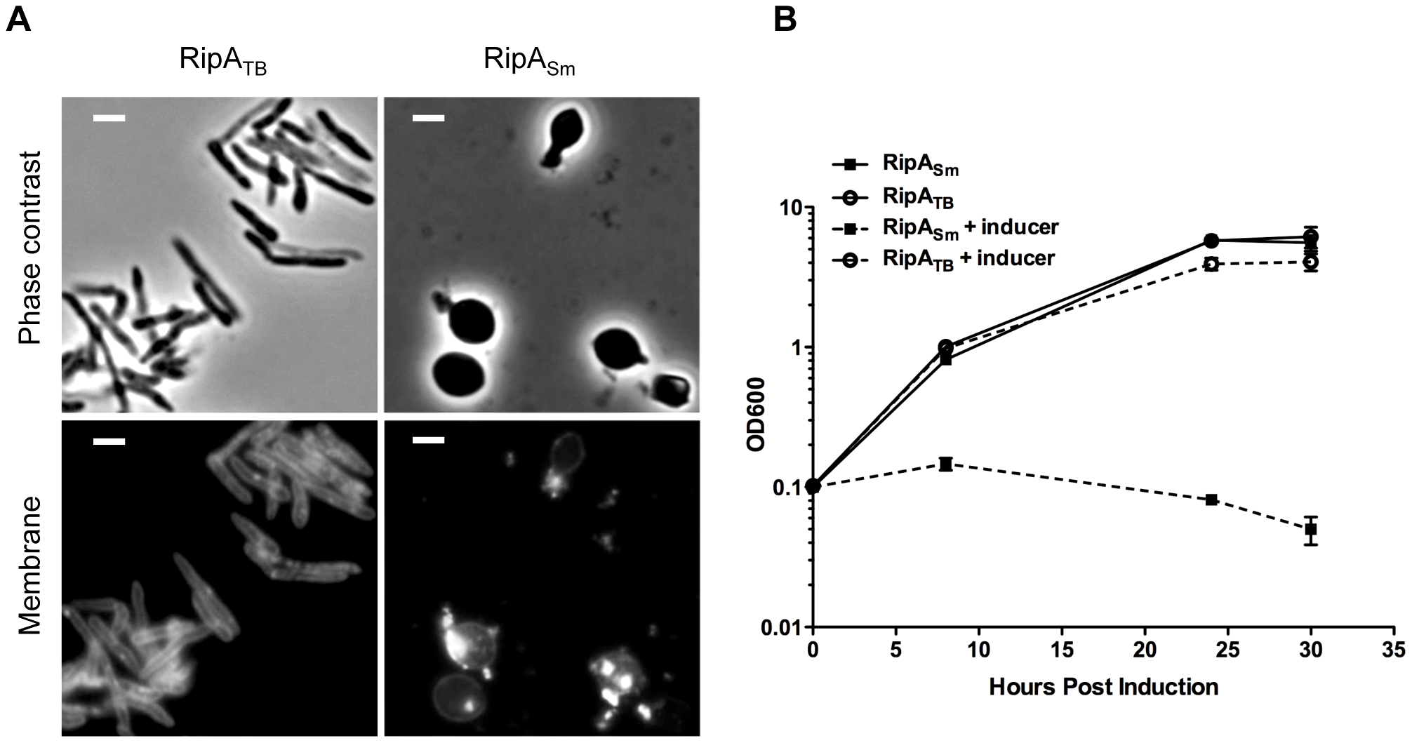 RipA is differentially active in a species-specific manner.