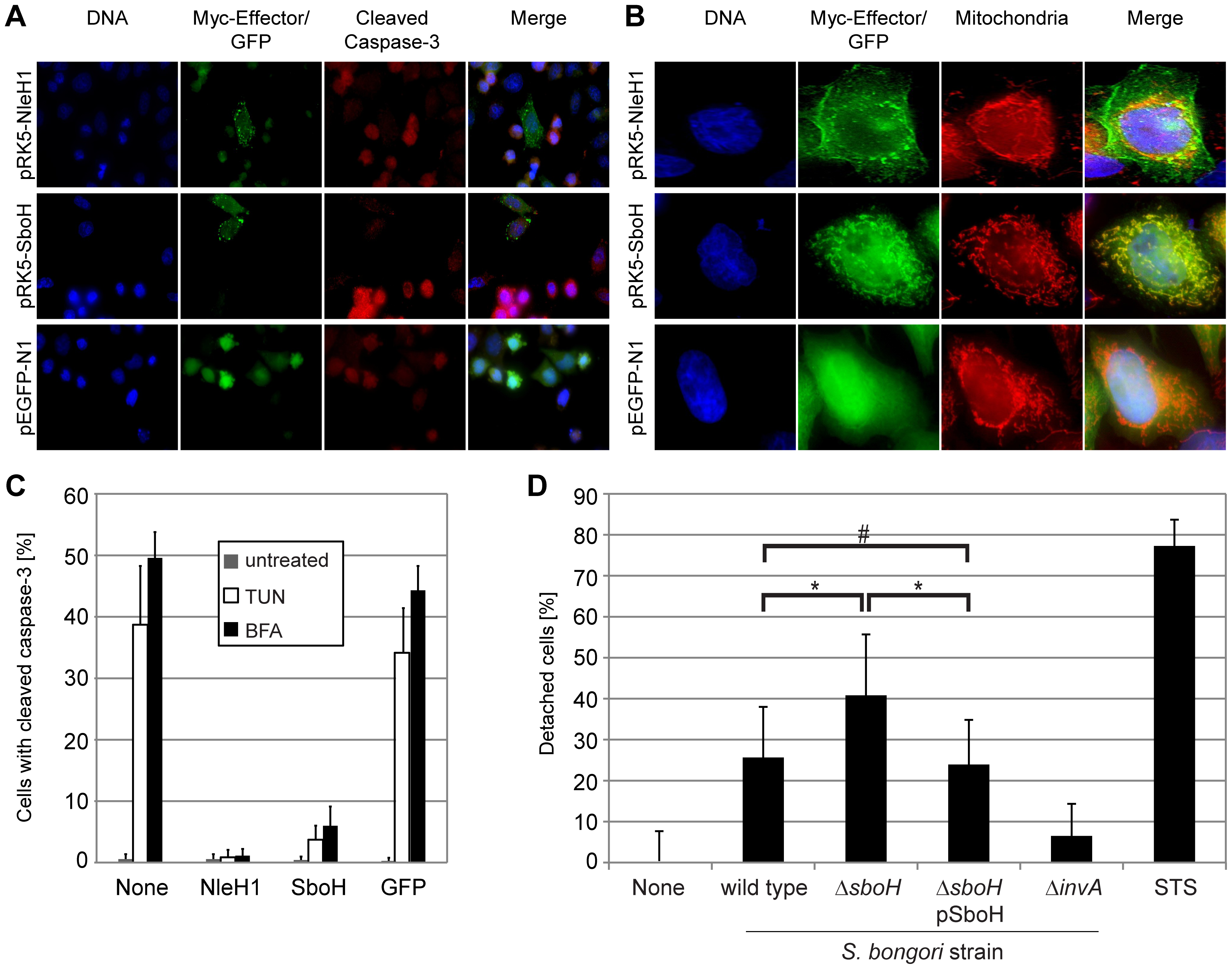 The chimeric effector SboH combines features of NleH1 and SopA and reduces host cell detachment during infection.