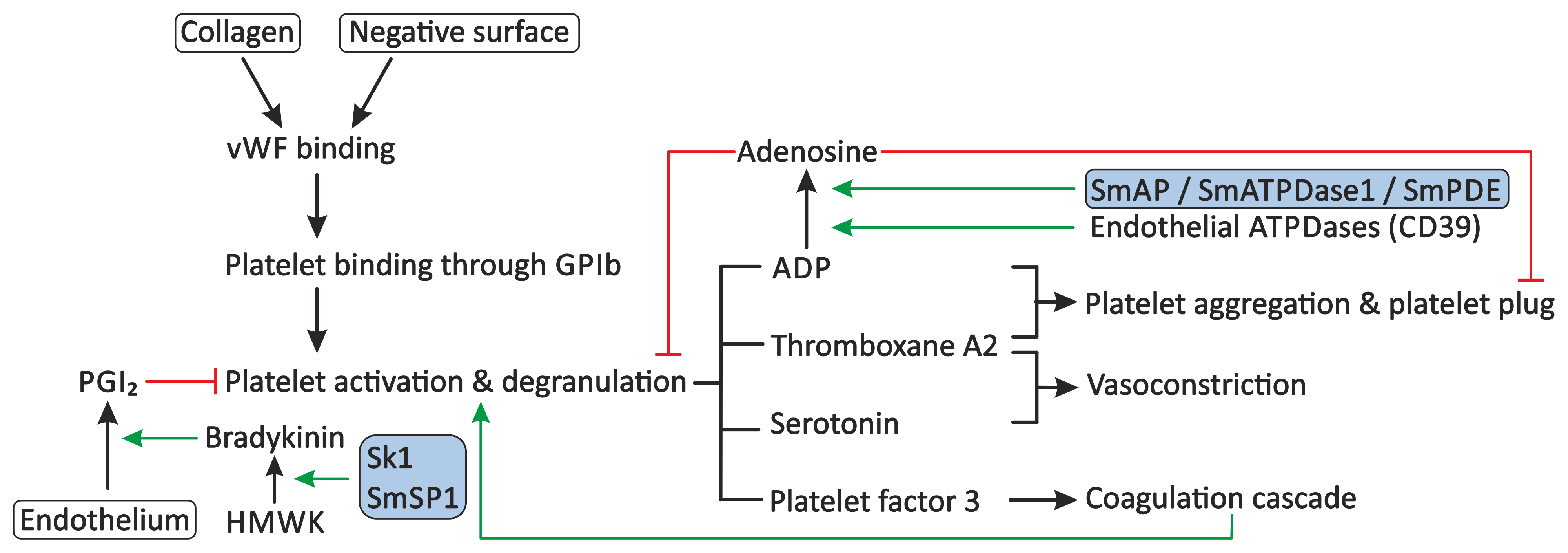 Proposed modulation of primary haemostasis by schistosomes.