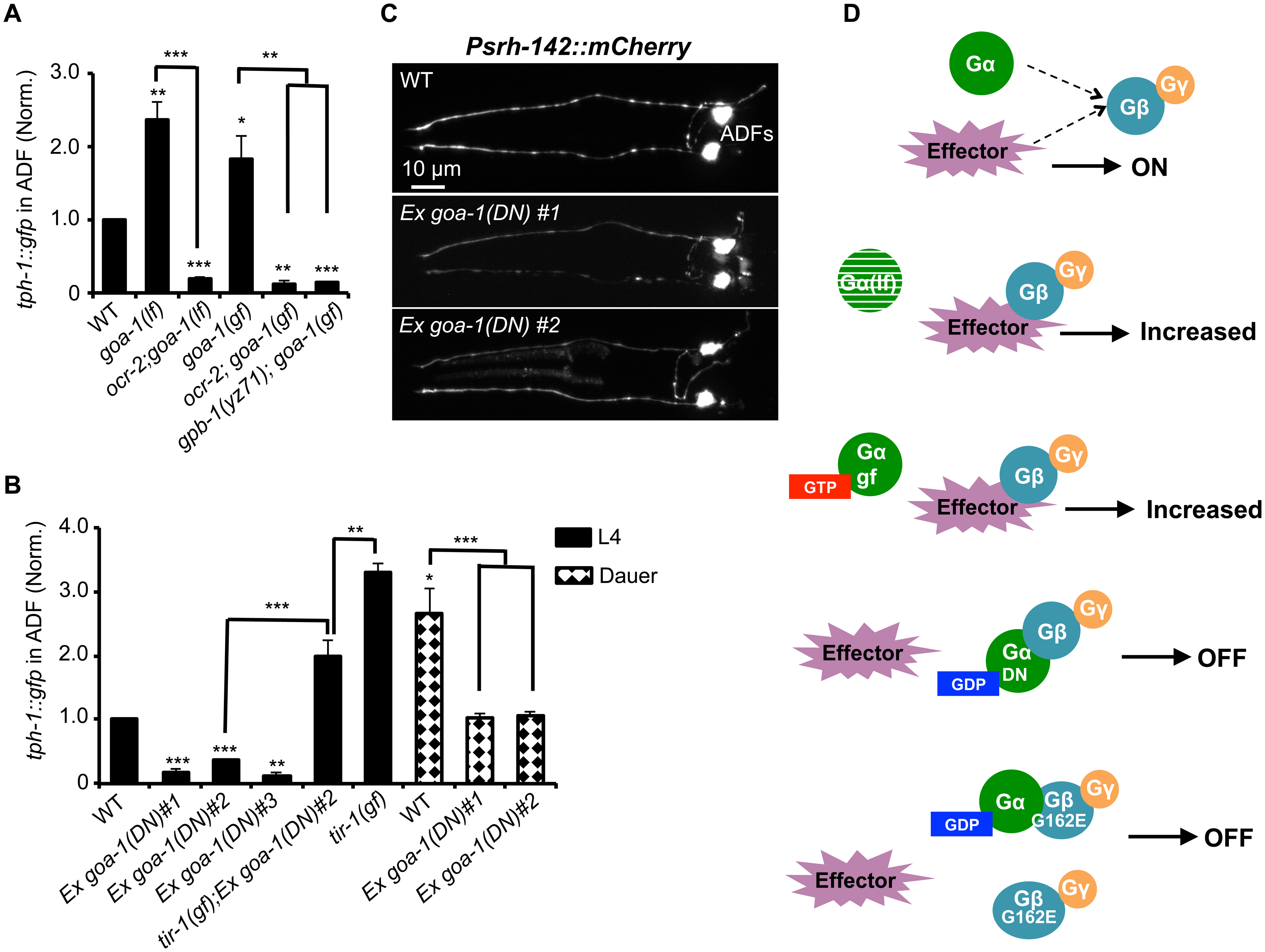 GPB-1 regulates baseline ADF <i>tph-1</i>::<i>gfp</i> expression in a GOA-1-dependent manner.