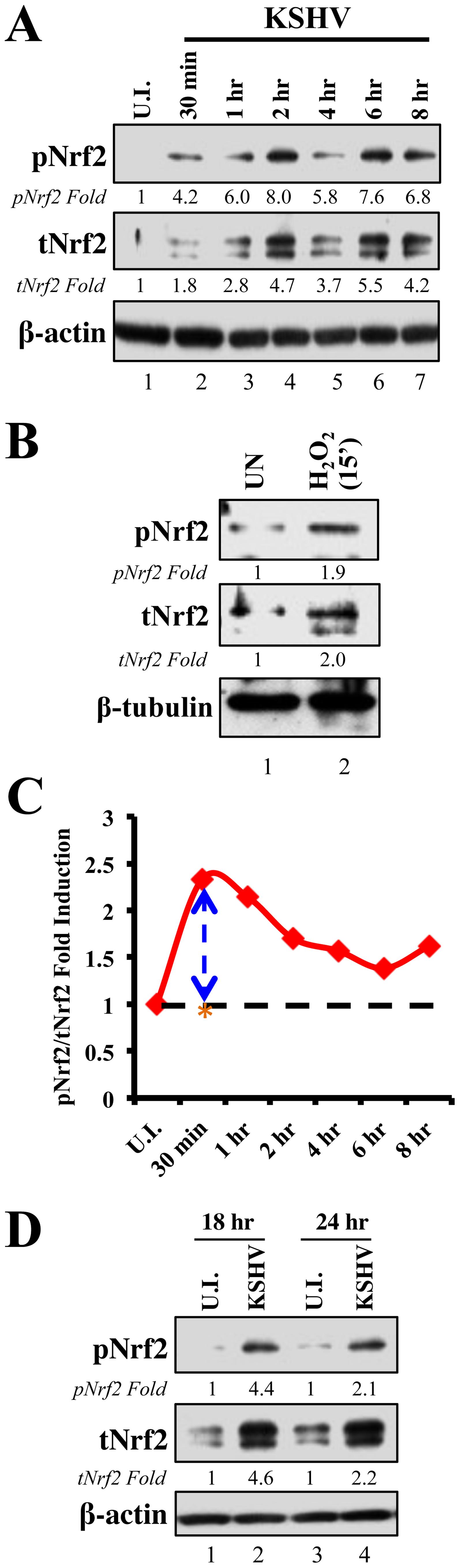 Induction of Nrf2 activity during <i>de novo</i> KSHV infection.