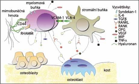 Interakce v mikroprostředí kostní dřeně mnohočetného myelomu.  Myelomové buňky interagují s ostatními buňkami a mimobuněčnou hmotou prostřednictvím adhezivních molekul (CD44, RHAMM, VCAM-1) a po adhezi je  podporováno vylučování cytokinů a růstových faktorů. Některé faktory působí i autokrinně (IL-6) a tím se ještě více stimuluje jejich produkce.