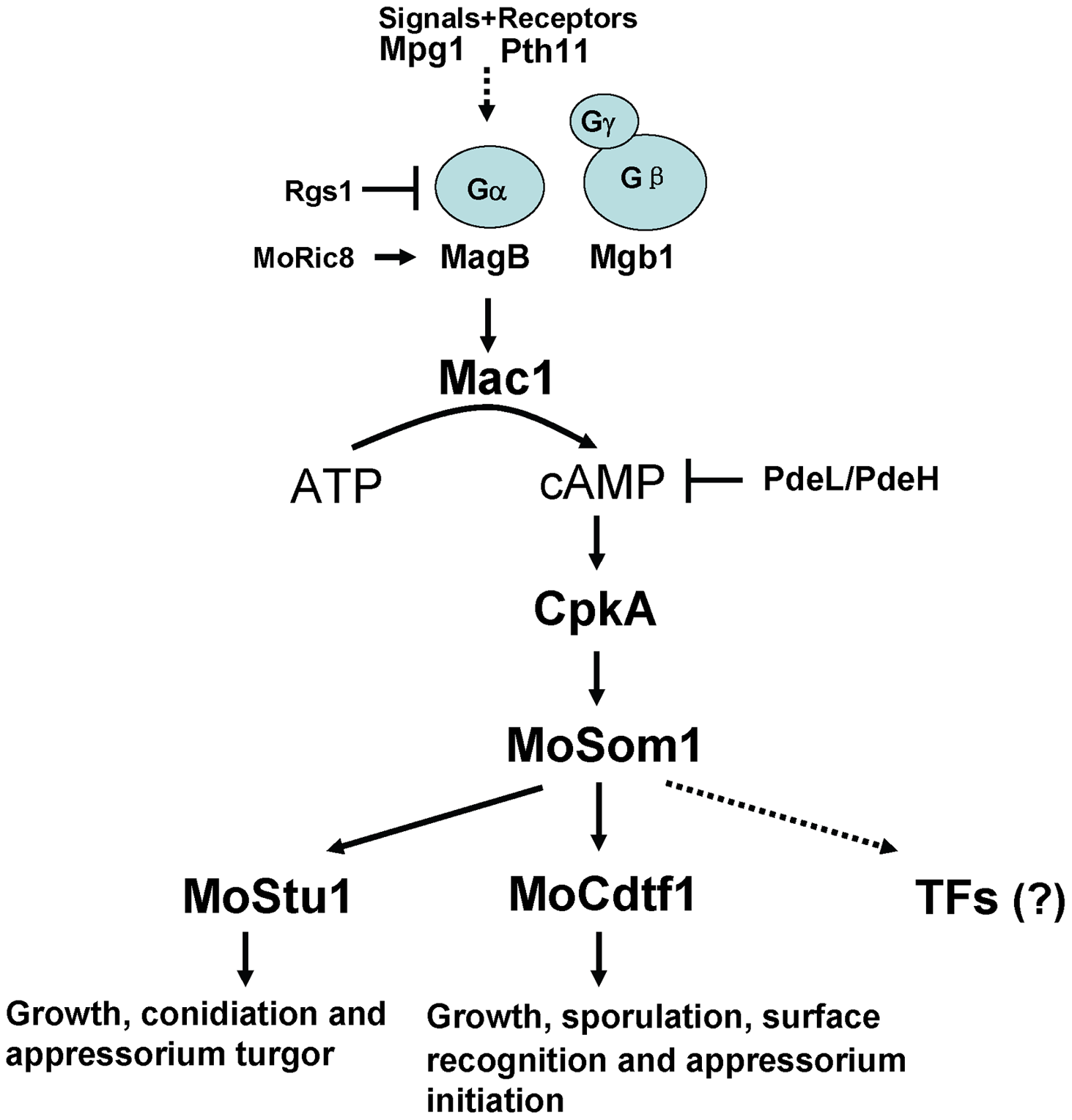 Model of the cAMP/PKA signaling pathway in <i>M. oryzae</i>.