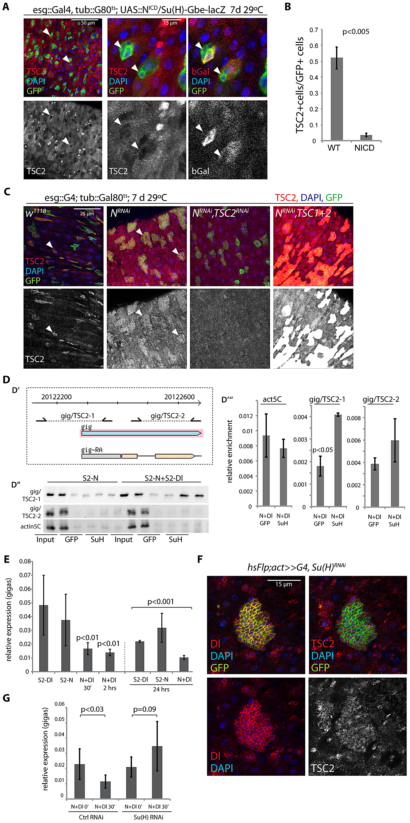 Suppression of TSC2 expression in response to Notch activation in EBs.