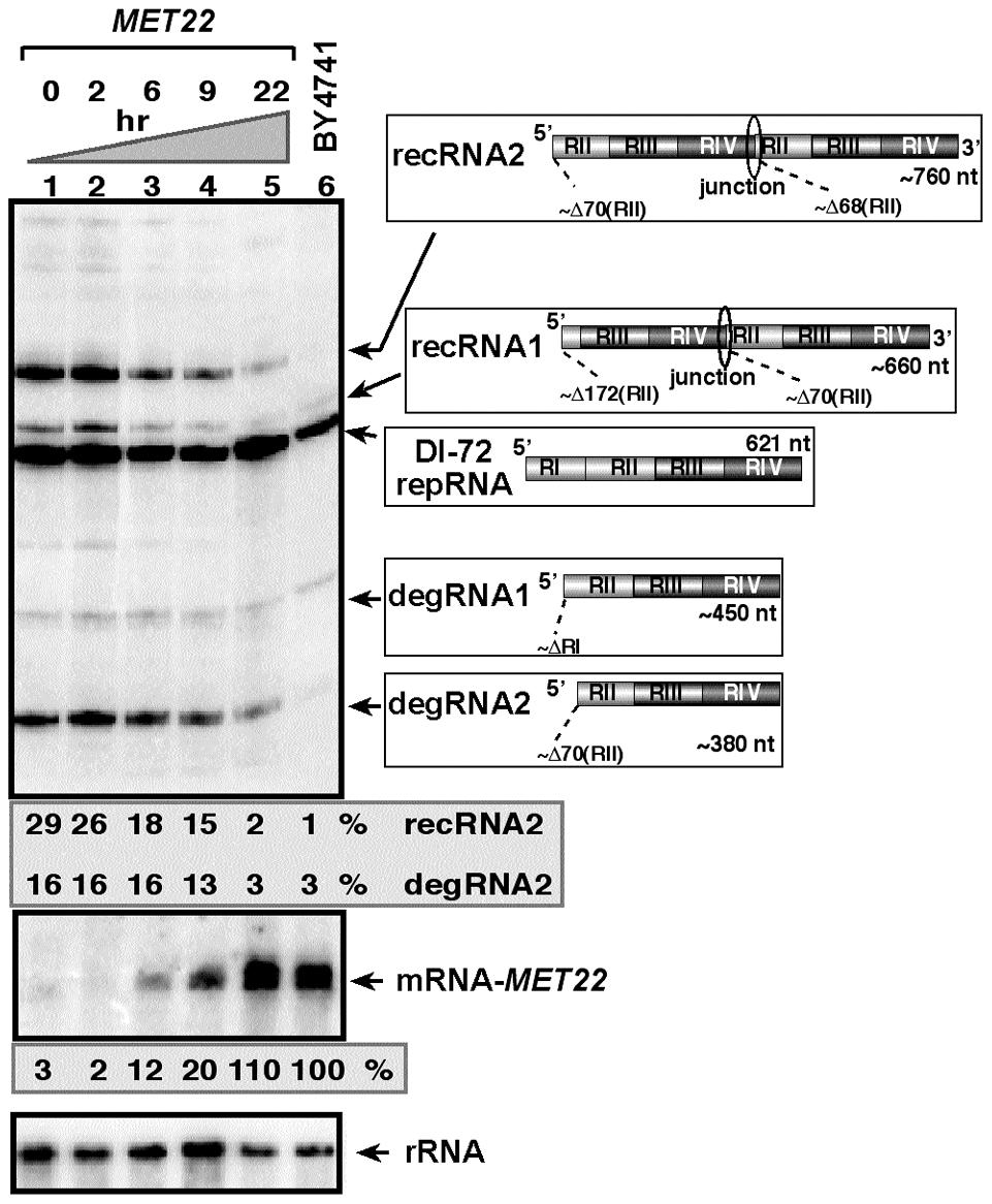 Expression of Met22p bisphosphate-3′-nucleotidase inhibits TBSV RNA recombination in yeast.