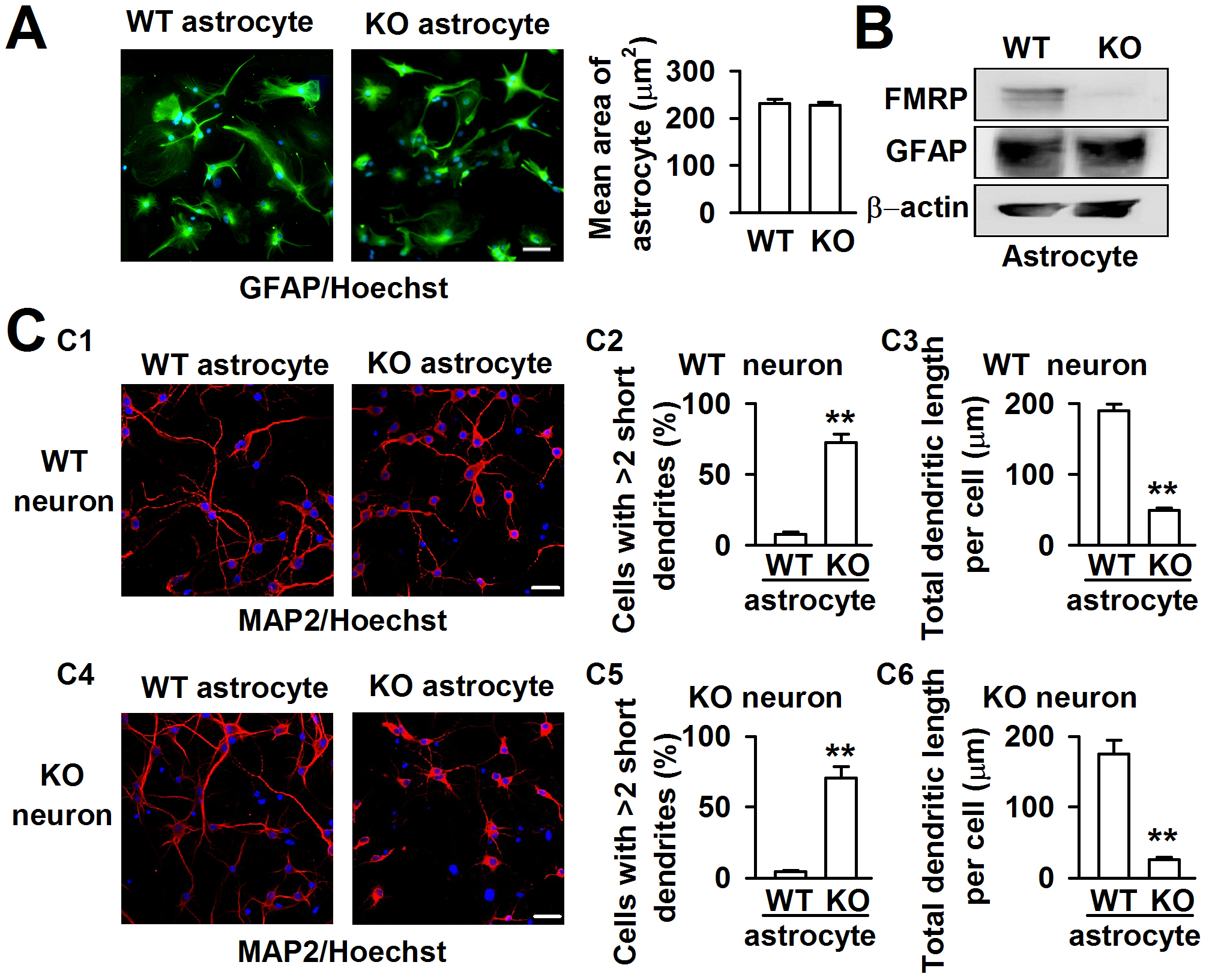 Different dendritic morphology of cortical neurons cocultured with WT and KO astrocytes.