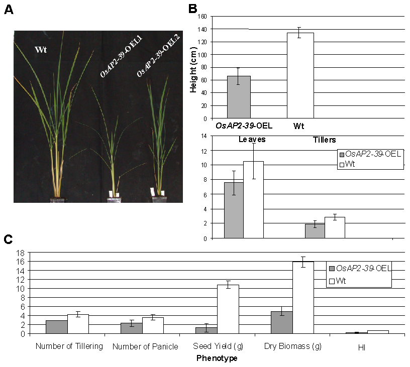 Overexpression of <i>OsAP2-39</i> causes a pleiotropic phenotype in rice and significantly reduces the yield and the Harvest Index (HI).
