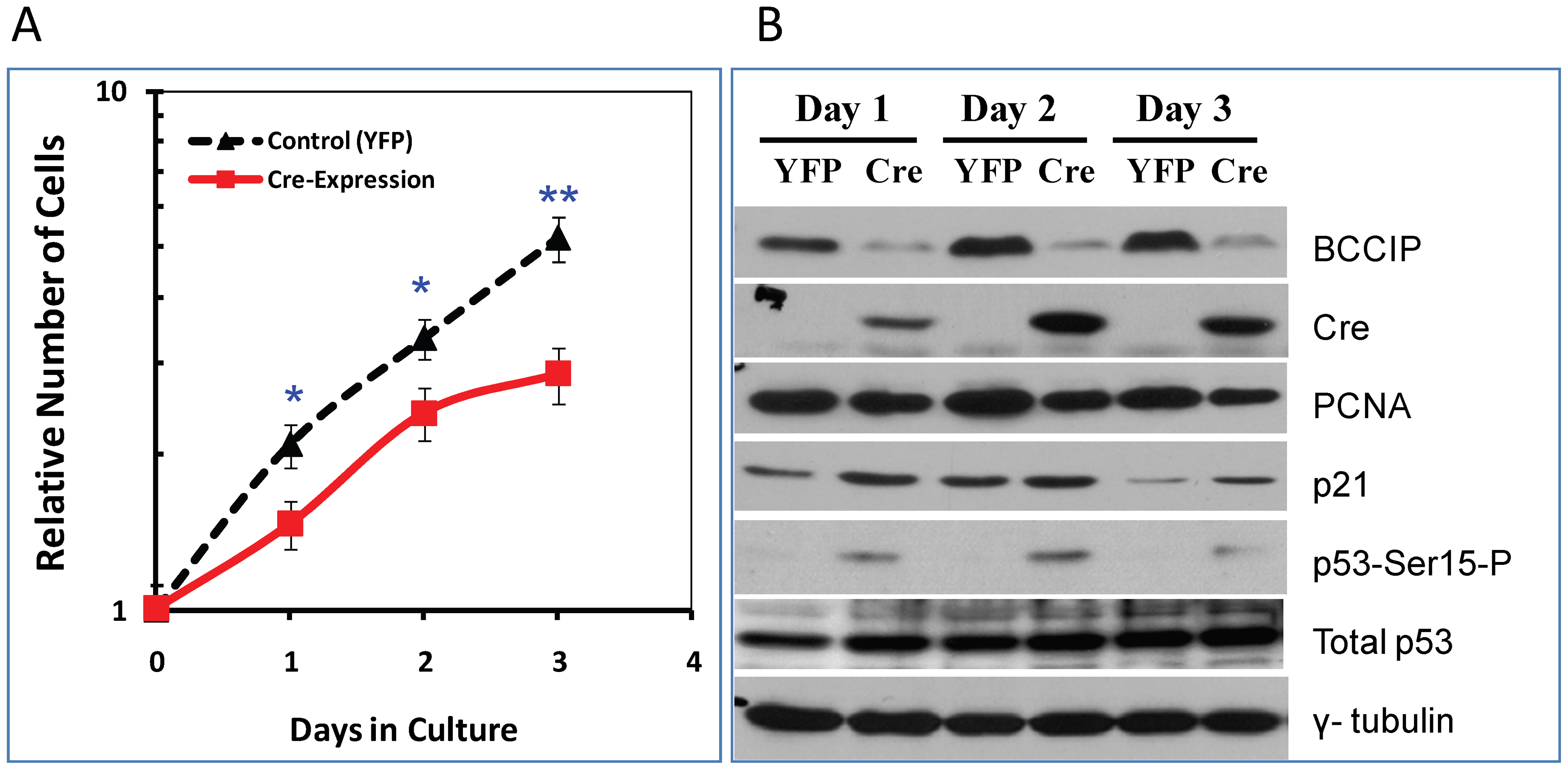 Characterization of BCCIP-deficient mouse embryo fibroblasts (MEF).