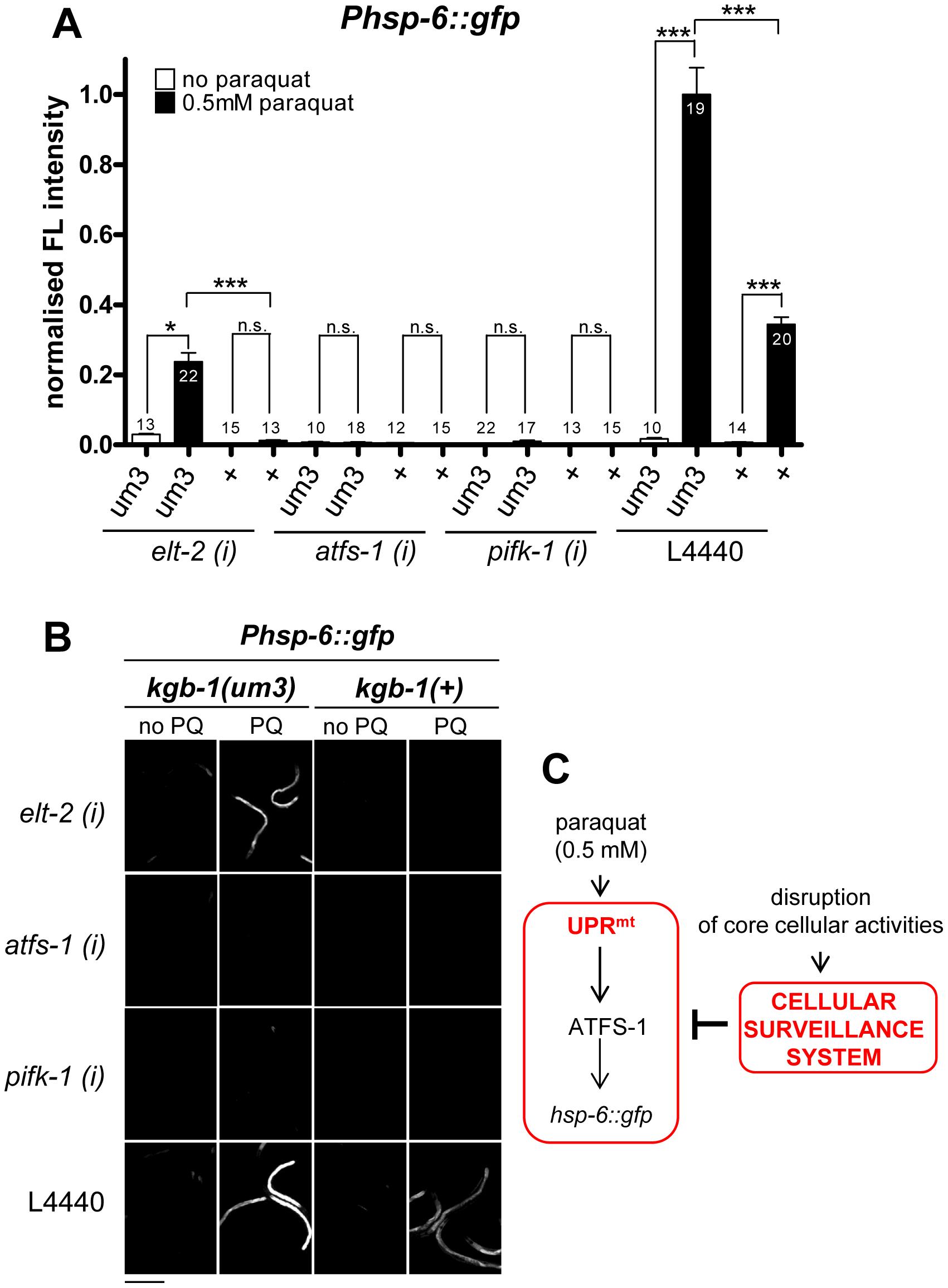 cSADDs inhibits paraquat-mediated signaling to <i>hsp-6</i> through KGB-1.
