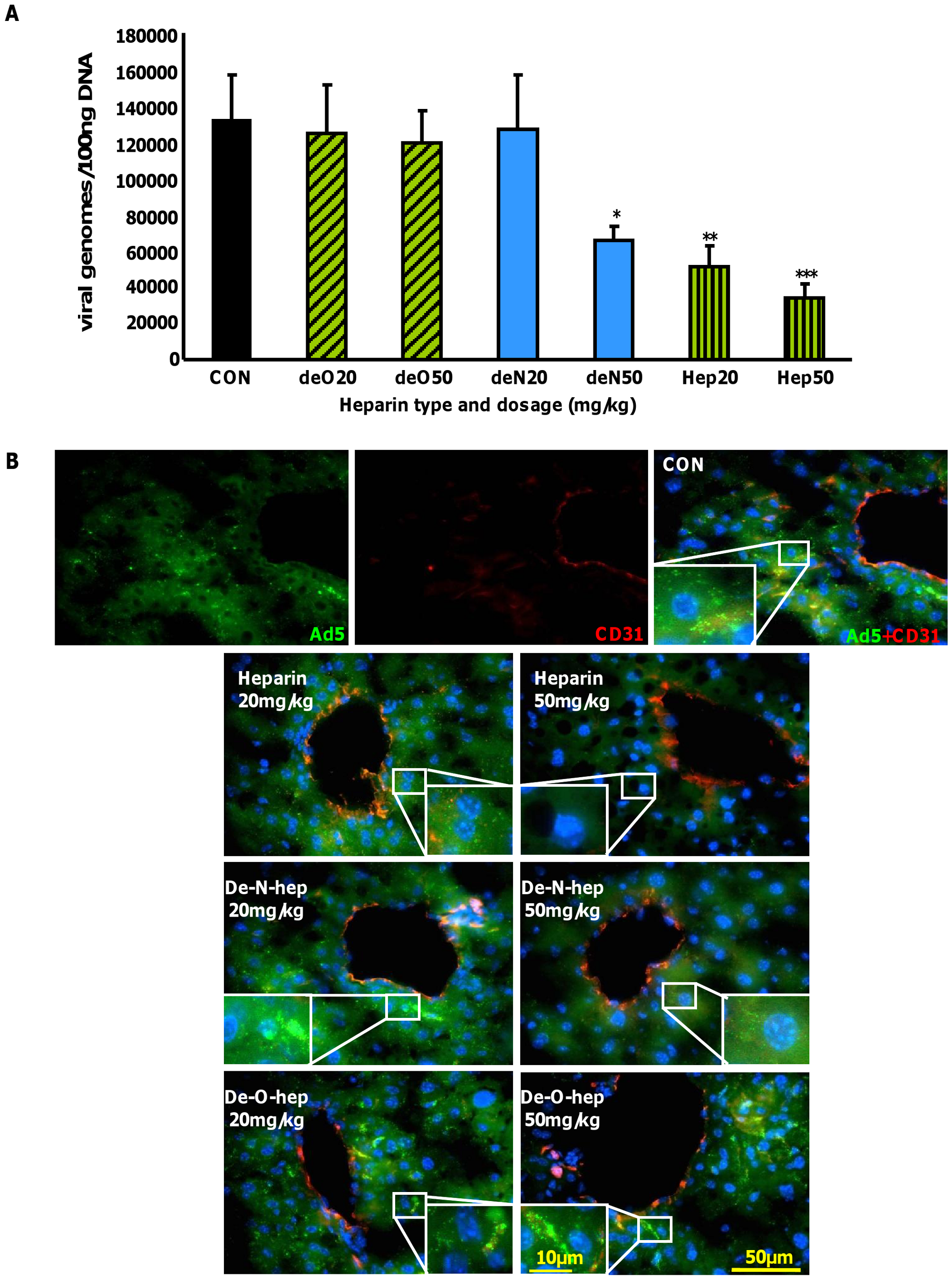 Effect of modified heparins on Ad5 liver accumulation.