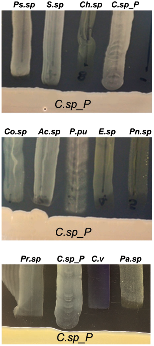 <i>Csp_P</i> has anti-bacterial activity against many species commonly found in the midguts of <i>Aedes</i> and <i>Anopheles</i> mosquitoes.