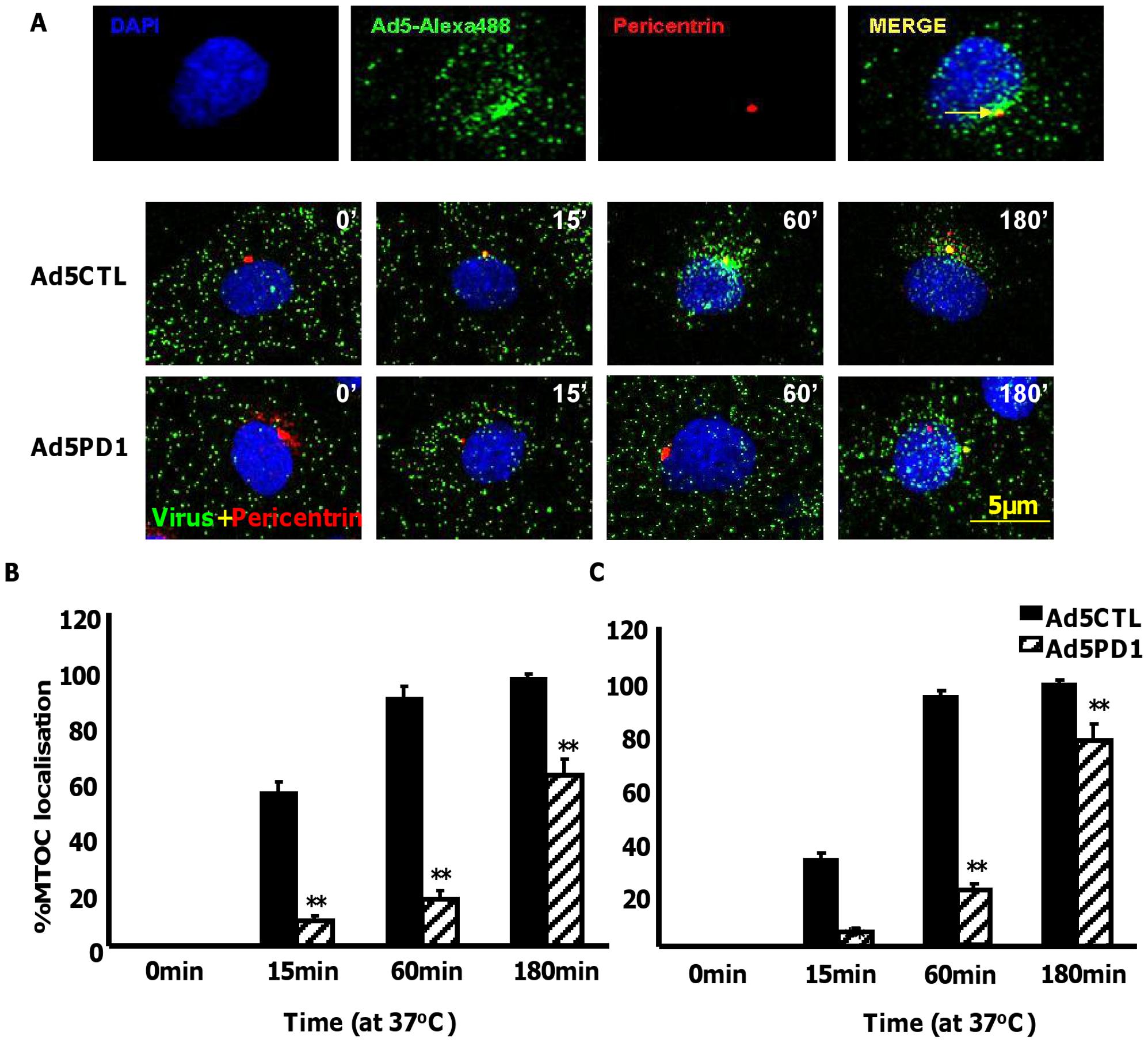 Delayed FX-mediated transport of αv integrin binding-defective Ad5 <i>in vitro</i>.