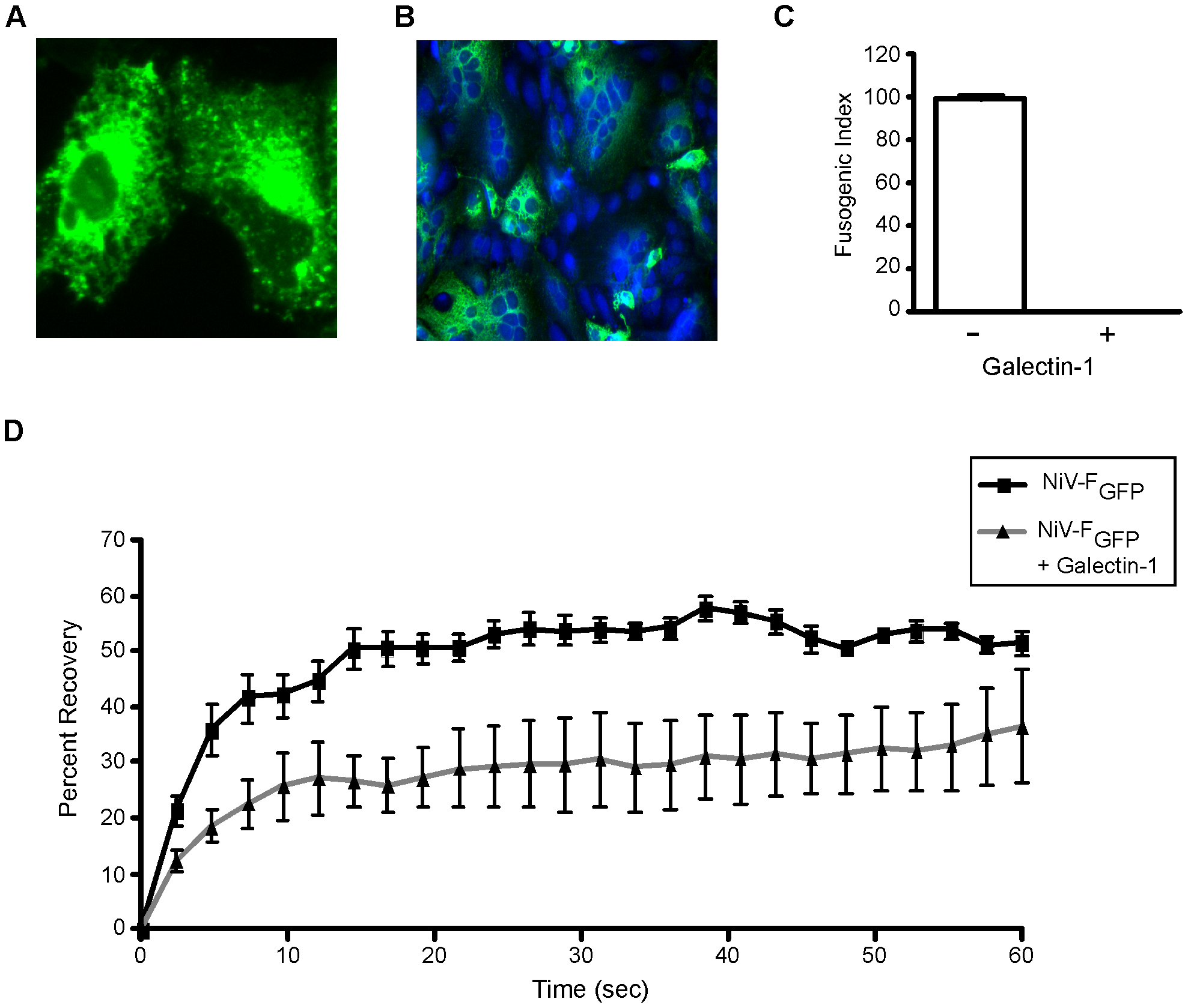Galectin-1 interferes with lateral movement of NiV-F on the plasma membrane.