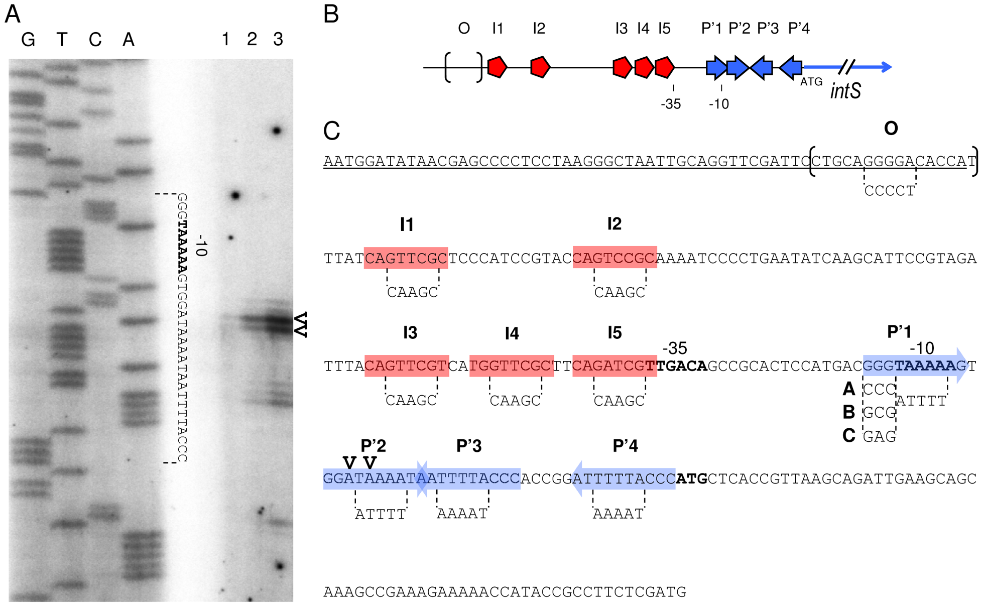 Primer extension analysis and mutagenesis strategy of the <i>intS</i> promoter.