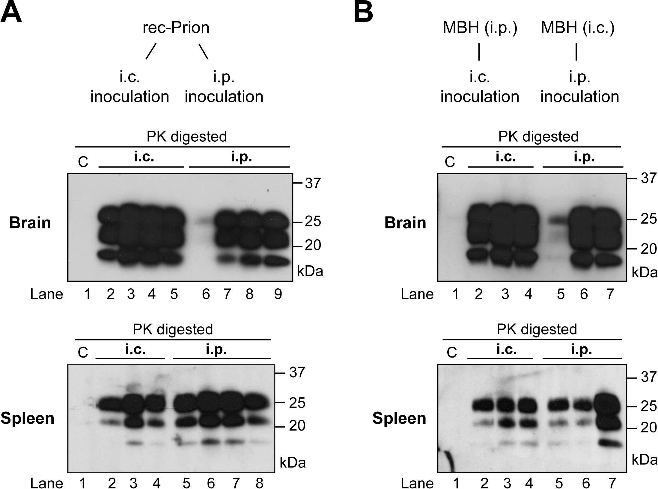 Brain and spleen PrP-res accumulation in rec-Prion inoculated wild-type CD-1 mice.