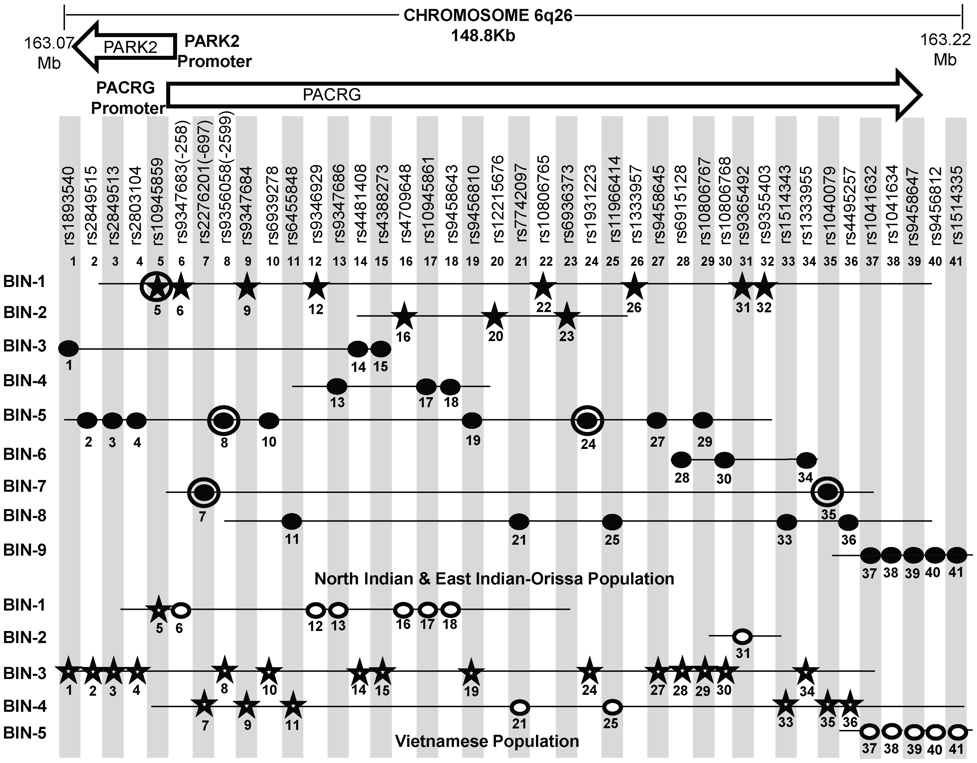 A schematic lay-out of the BIN structure (r<sup>2</sup>≥0.80) in the regulatory region of the PARK2 and PACRG genes in North Indian and East Indian-Orissa and Vietnamese population for 41 SNPs spanning 148 Kb region of Chromosome 6q26, where 36 SNPs are common to both Vietnamese and Indian population and 5 significant SNPs (No. 20, 22, 23, 26, 32) are exclusively studied in the Indian population.