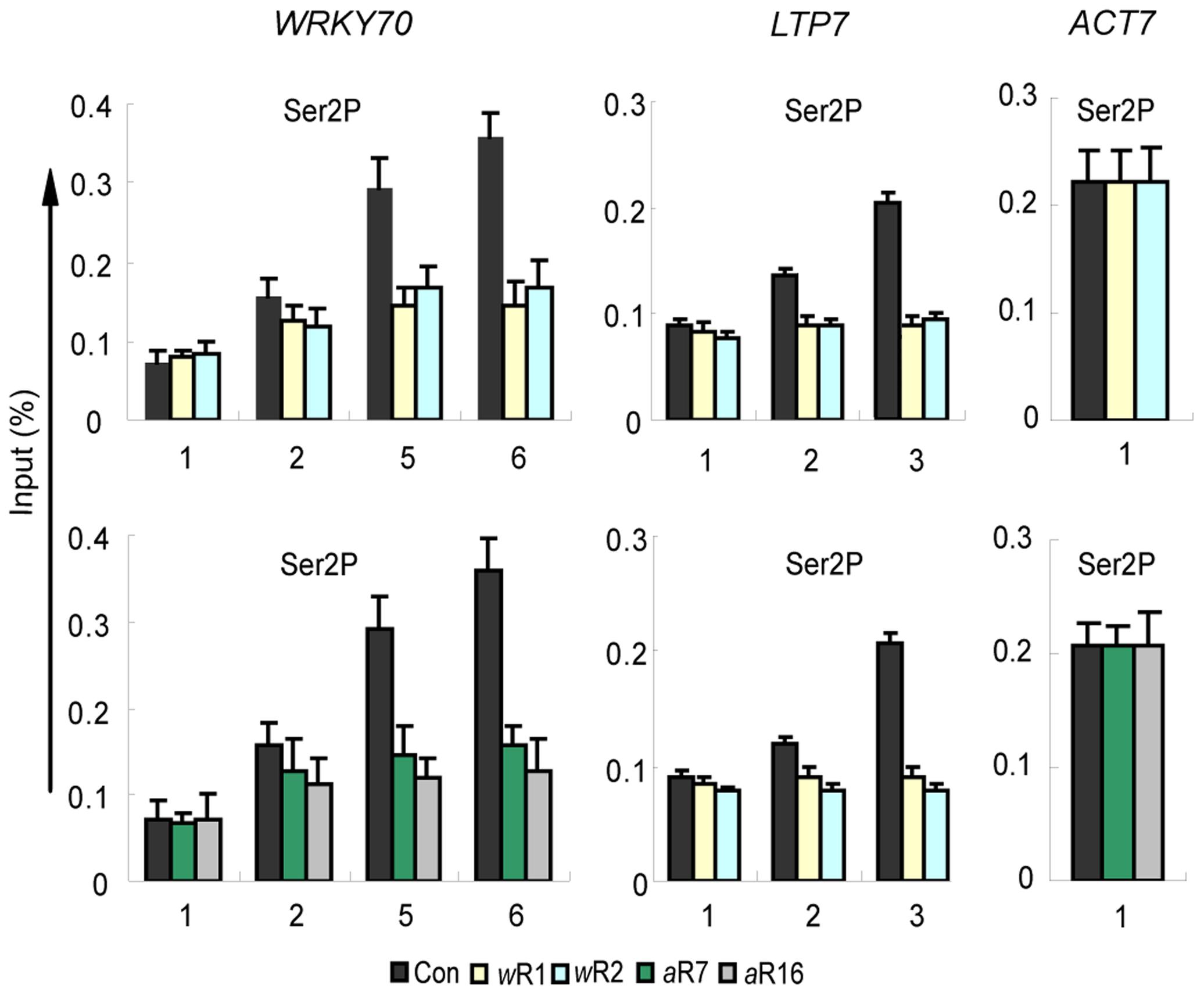 Ser2P Pol II distribution patterns along the genes in <i>AtWDR5</i> or <i>AtASH2-RNAi</i> knockdown lines.