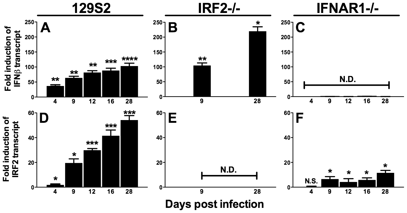 IFNβ and IRF2 are upregulated during acute infection and latency <i>in vivo</i>.