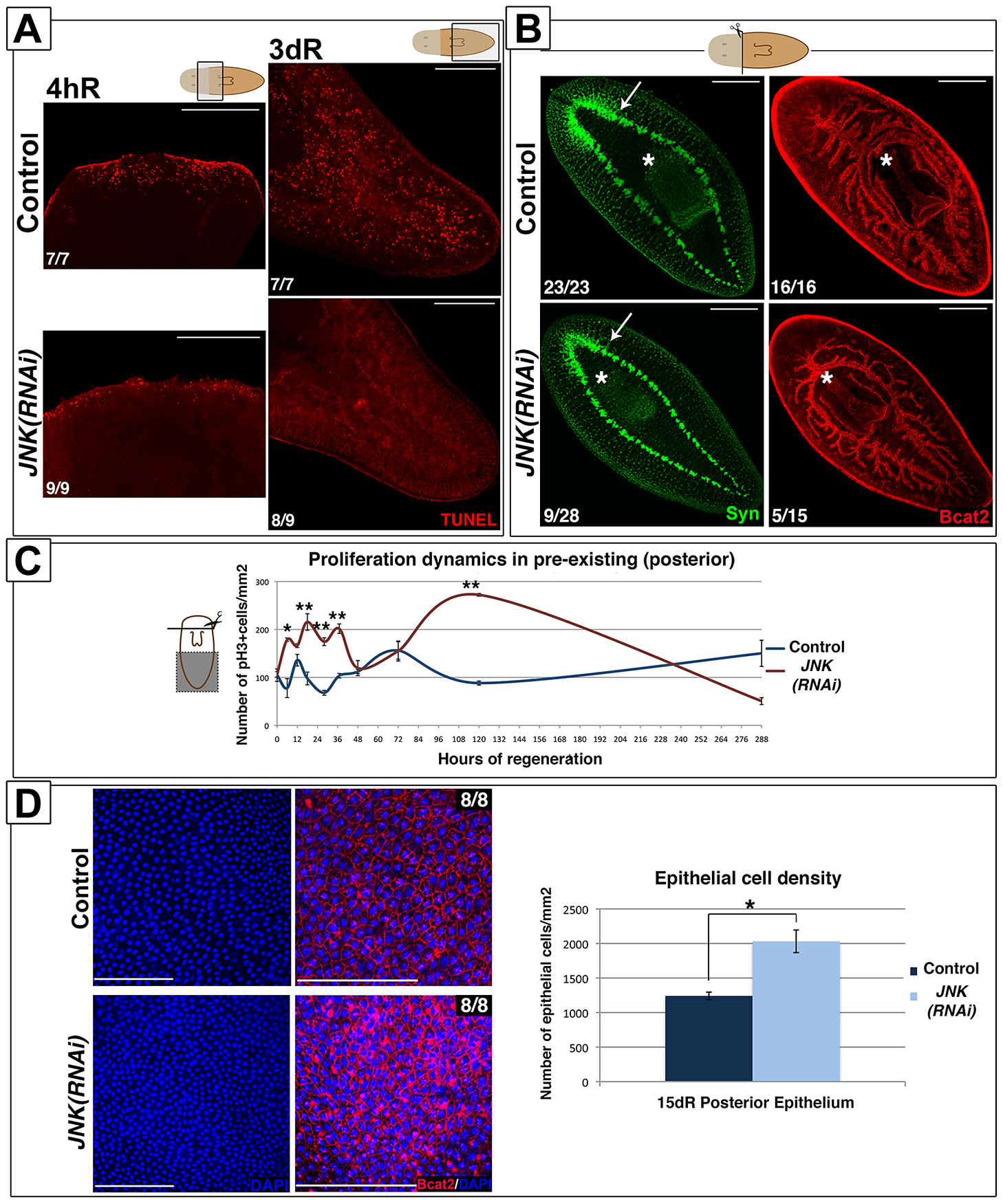 JNK triggers apoptosis and restores proportionality after amputation.
