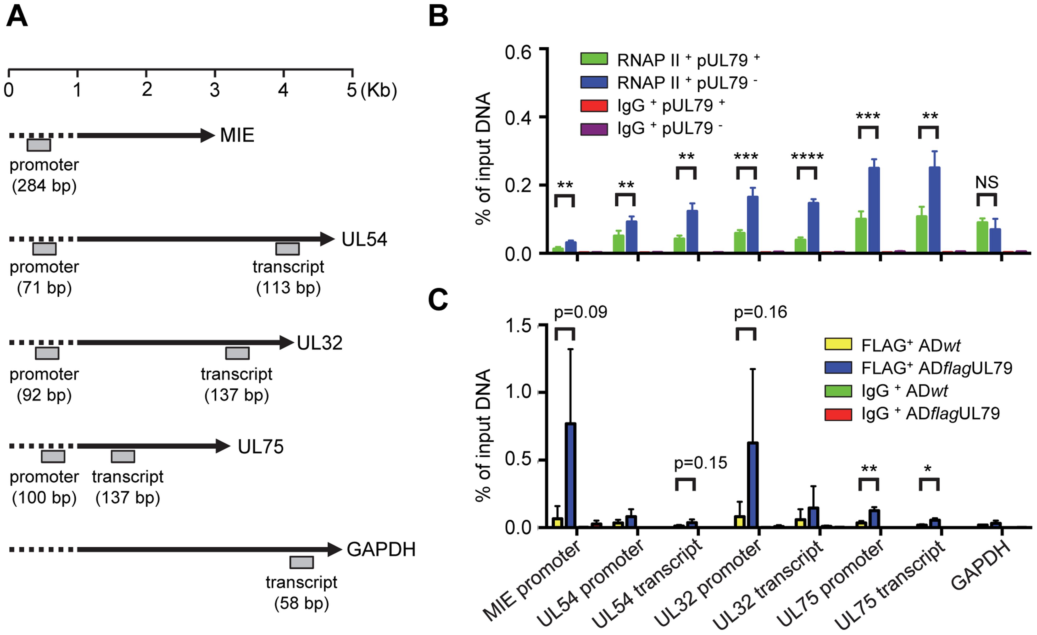 pUL79 alters RNAP II occupancy at viral loci.