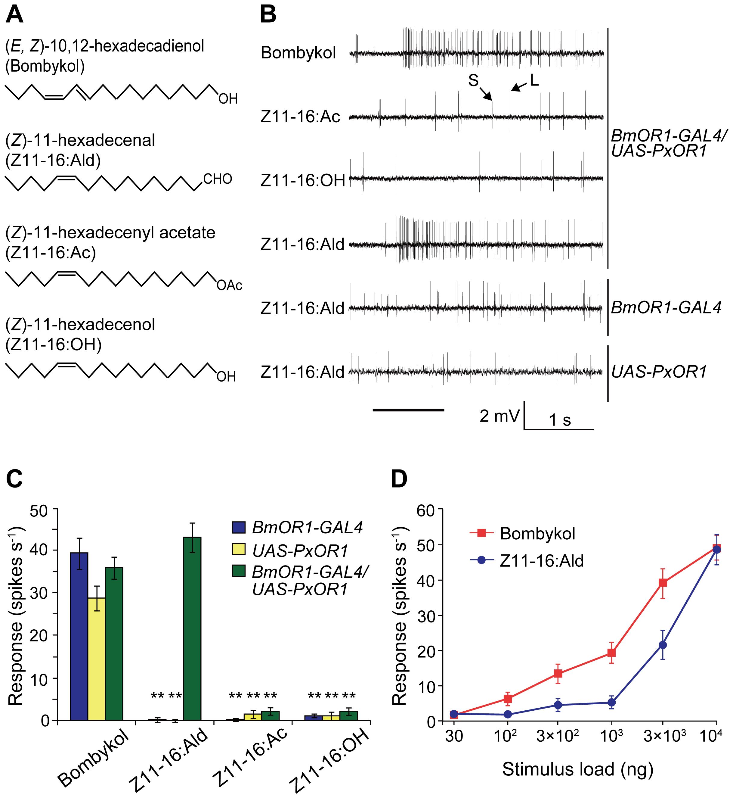 Single sensillum responses of PxOR1-expressing bombykol receptor neurons to Z11-16:Ald.