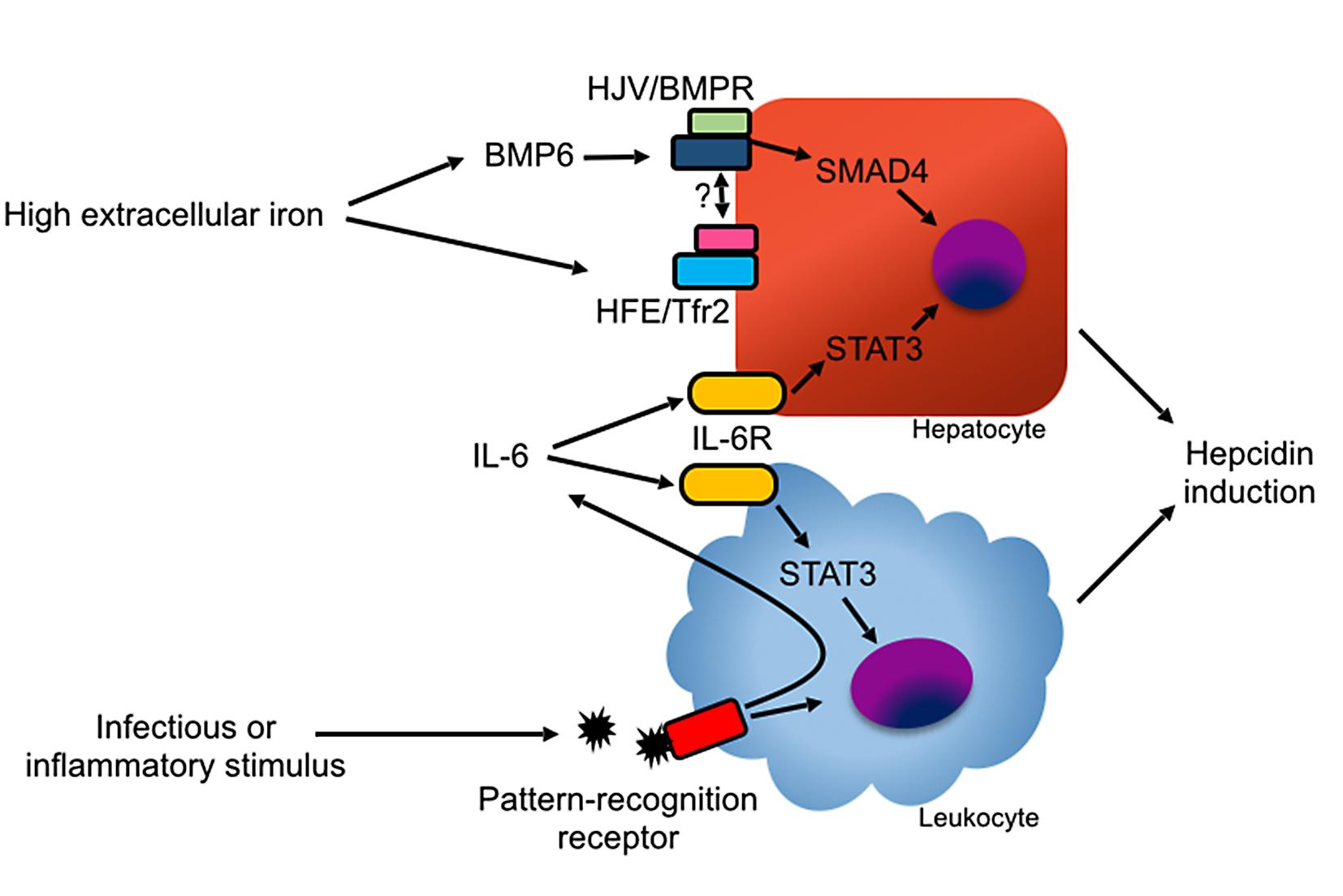 Mechanisms of hepcidin induction.