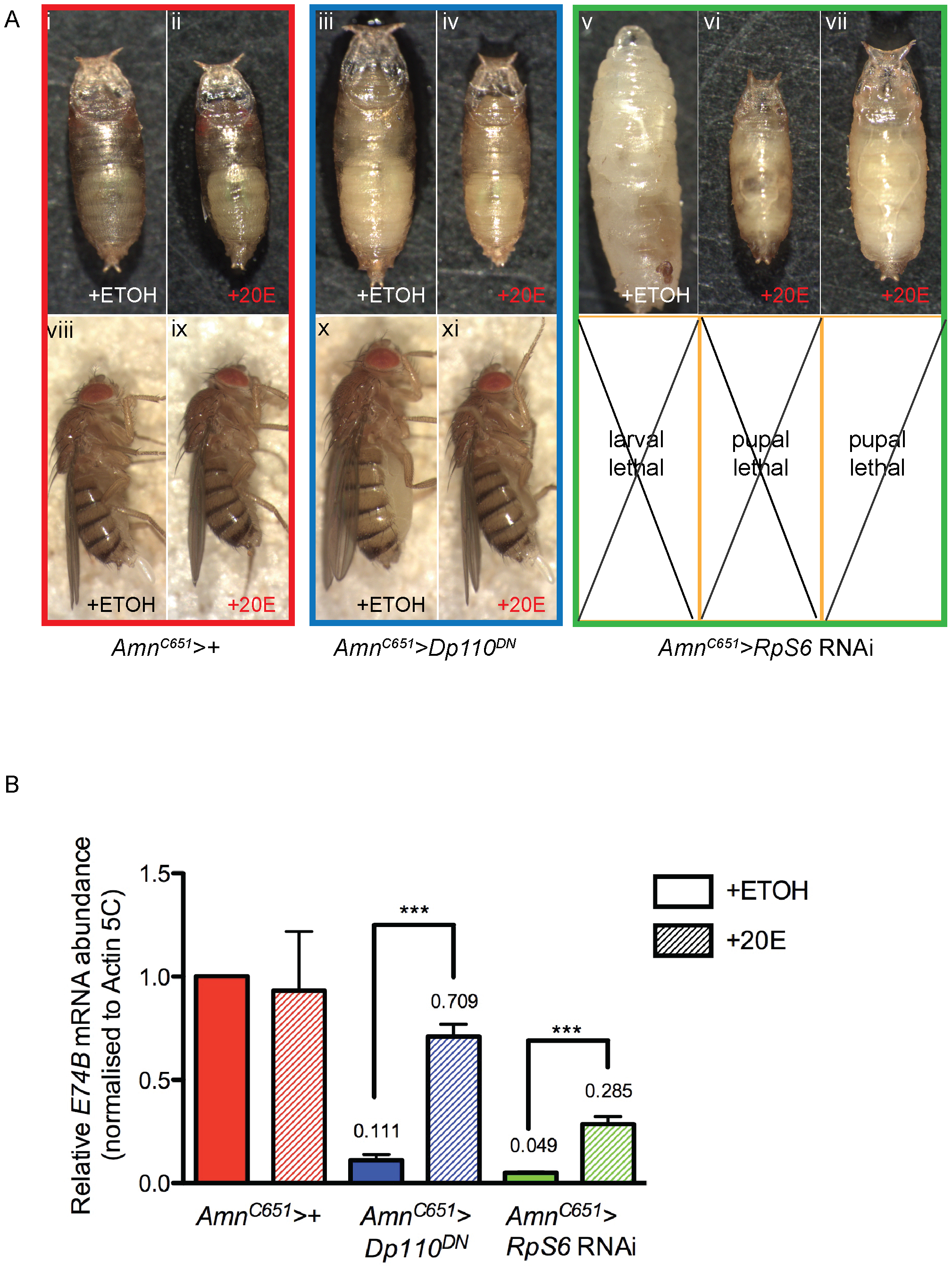 Addition of 20-hydroxyecdysone can partially rescue <i>Amn&gt;RpS6</i> RNAi larval lethality.