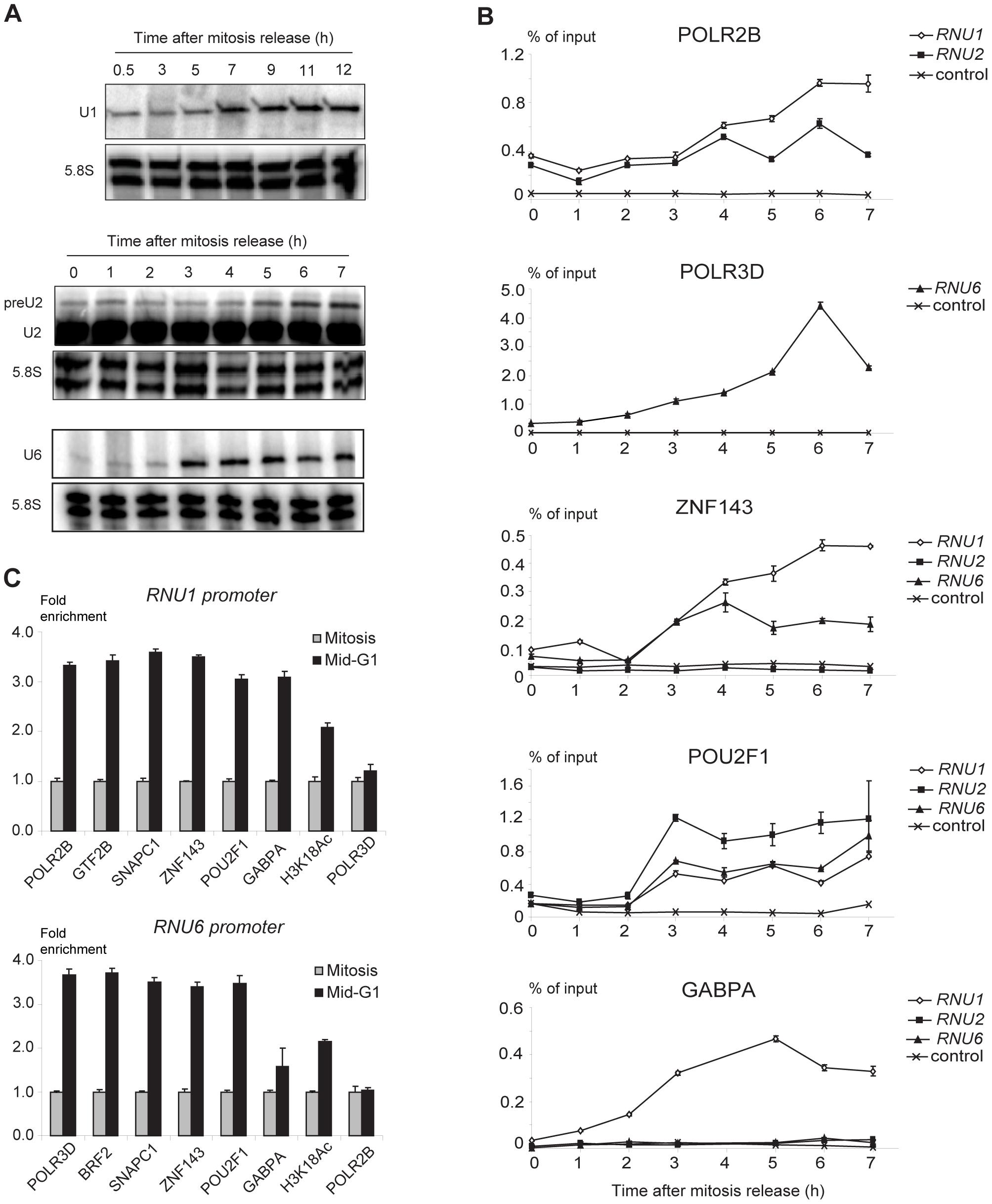 <i>RNU1</i>, <i>RNU2</i>, and <i>RNU6</i> transcription and factor recruitment during mitosis to G1 phase transition.