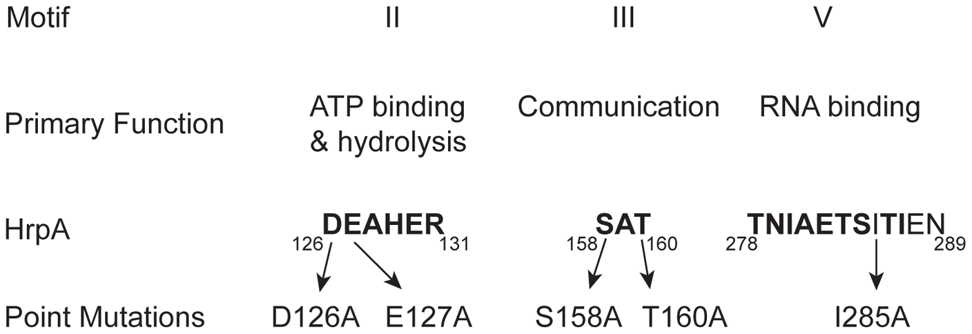 Conserved DEAH-box RNA helicase motifs in the <i>B. burgdorferi</i> HrpA protein used for point mutations.