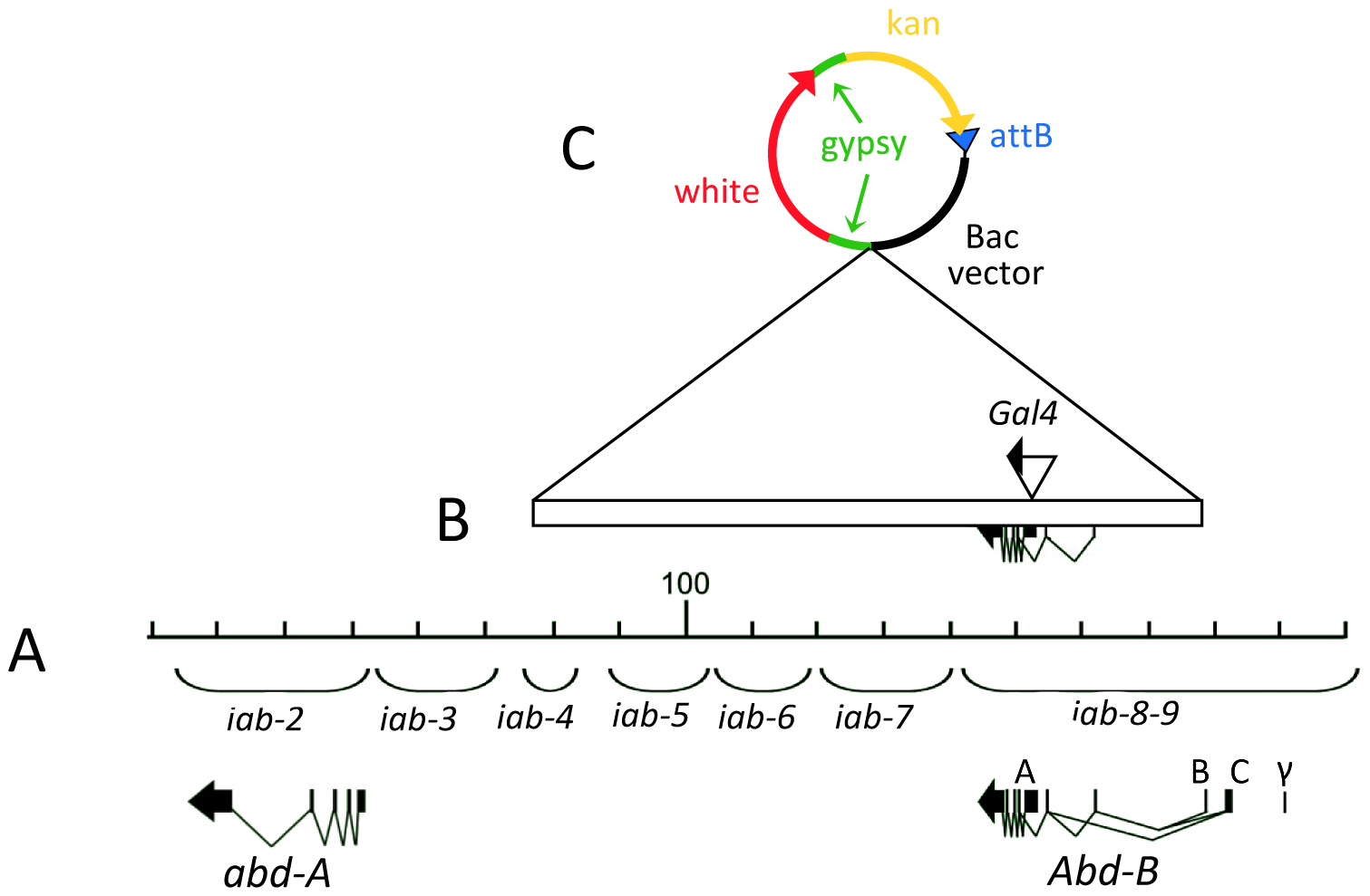 Extend of DNA contains in the <i>Abd-B</i> BAC.