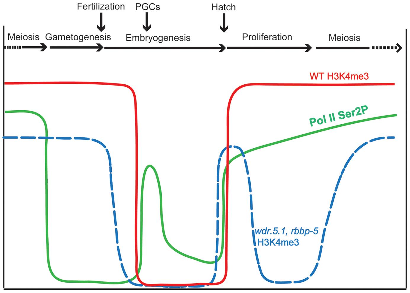 Summary of H3K4me3 and RNA polymerase C-terminal domain phosphorylation dynamics during the <i>C.</i><i> elegans</i> germline cycle.