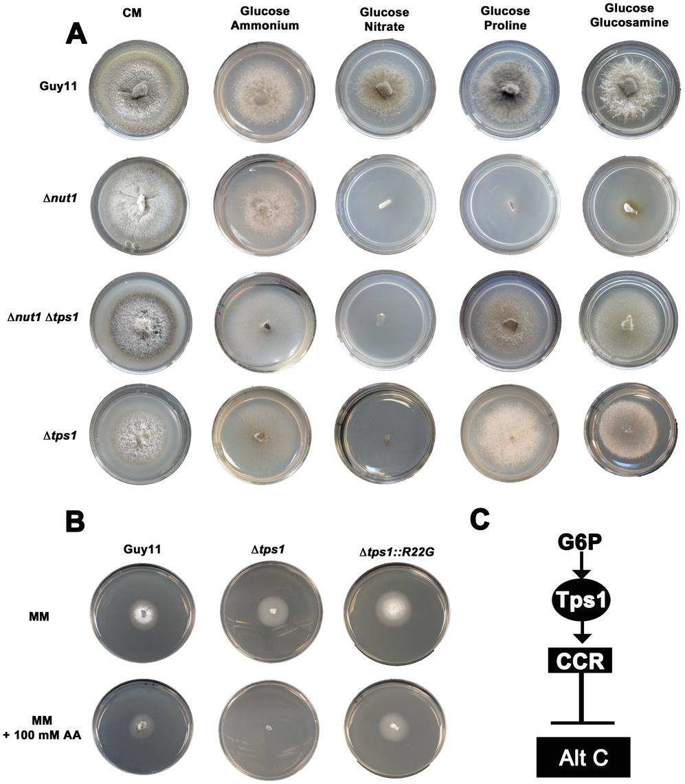 Tps1 regulates CCR in response to G6P sensing.