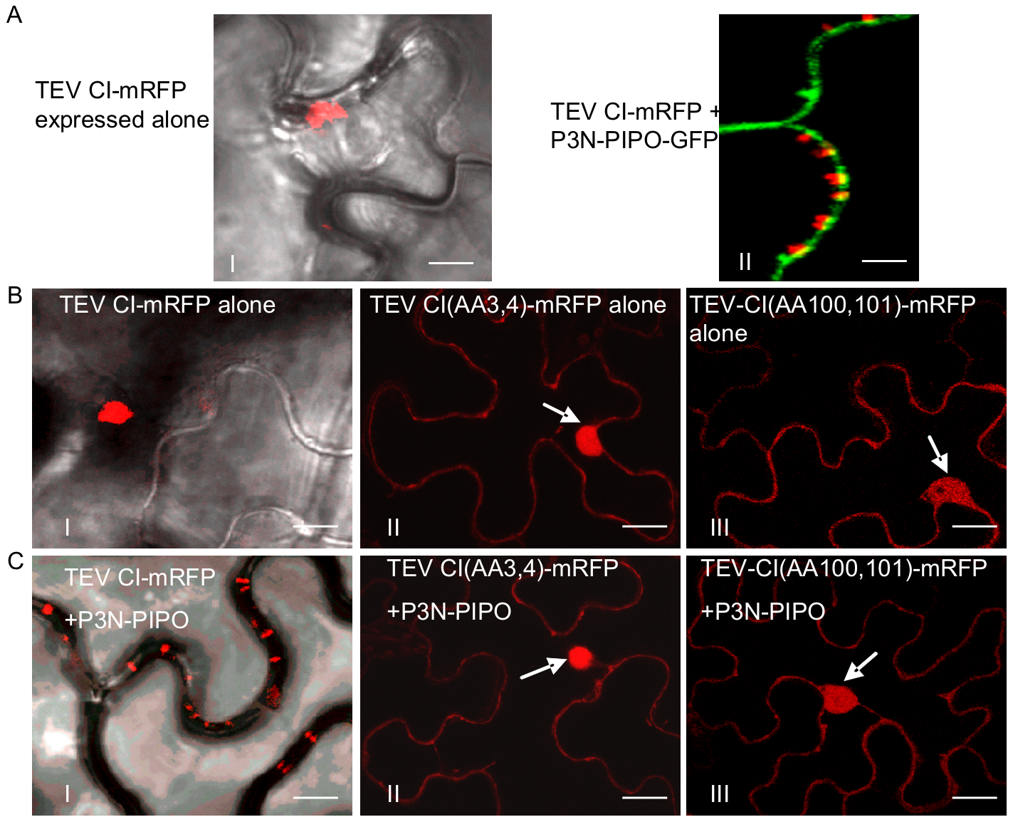 Two TEV CI mutants defective in cell-to-cell movement fail to form either cytoplasmic inclusions (when expressed alone) or PD-associated structures (in the presence of P3N-PIPO).