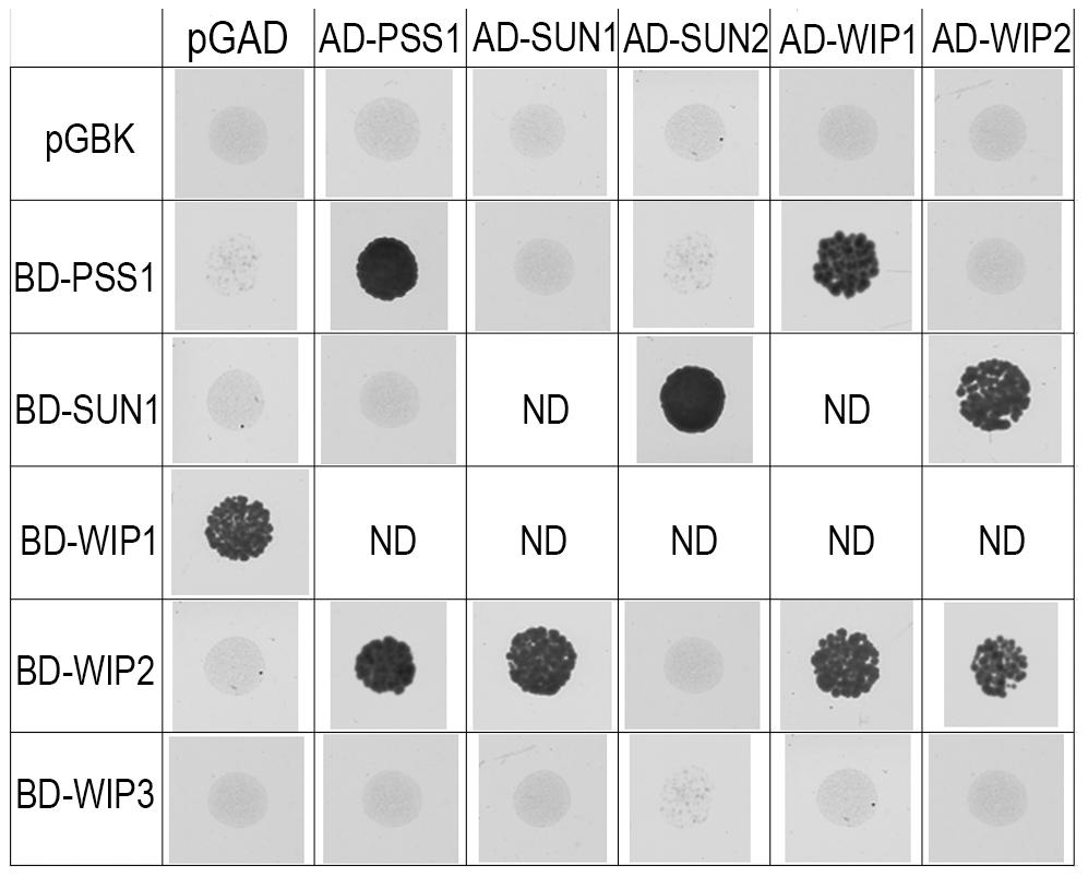 Interaction between AtPSS1, AtWIPs and AtSUNs.