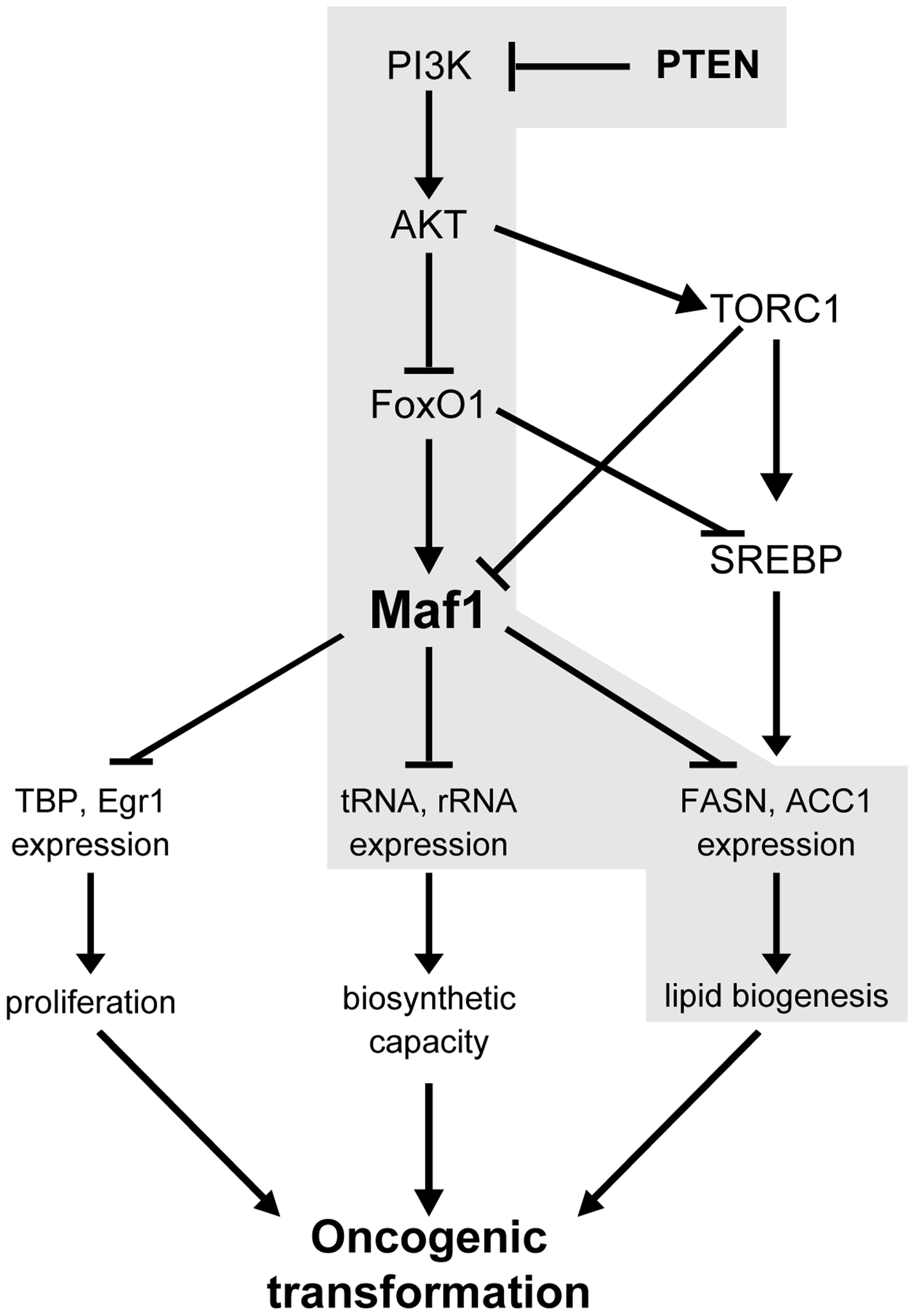 Maf1 is a central coordinator of metabolic signals.