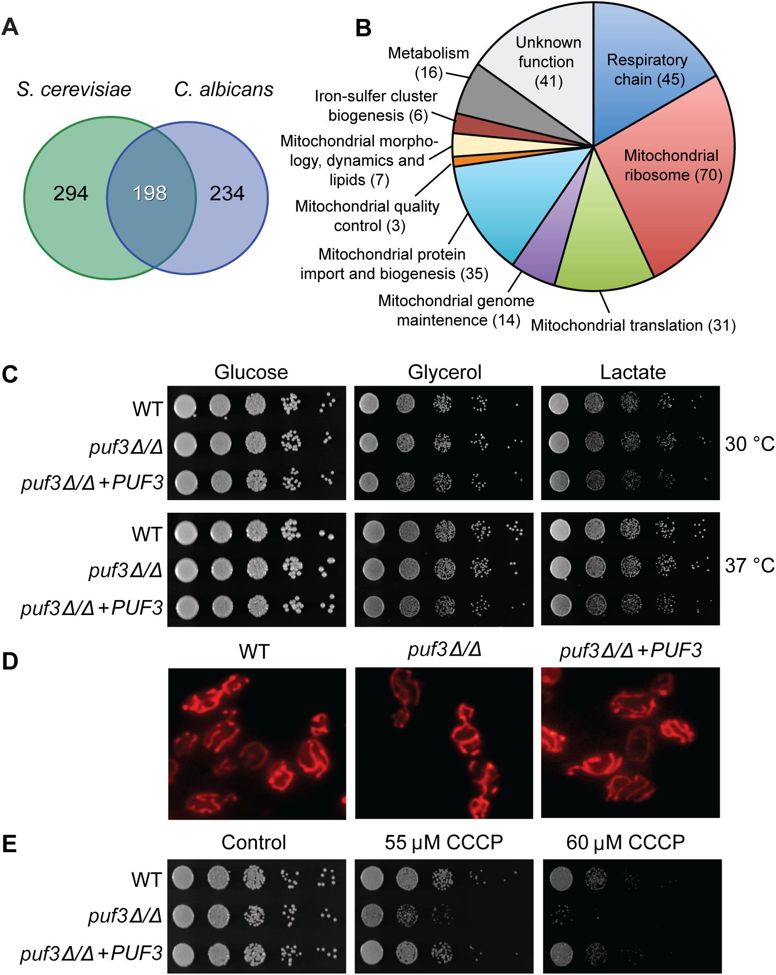 The <i>C</i>. <i>albicans</i> Puf3 regulon and mitochondrial roles.