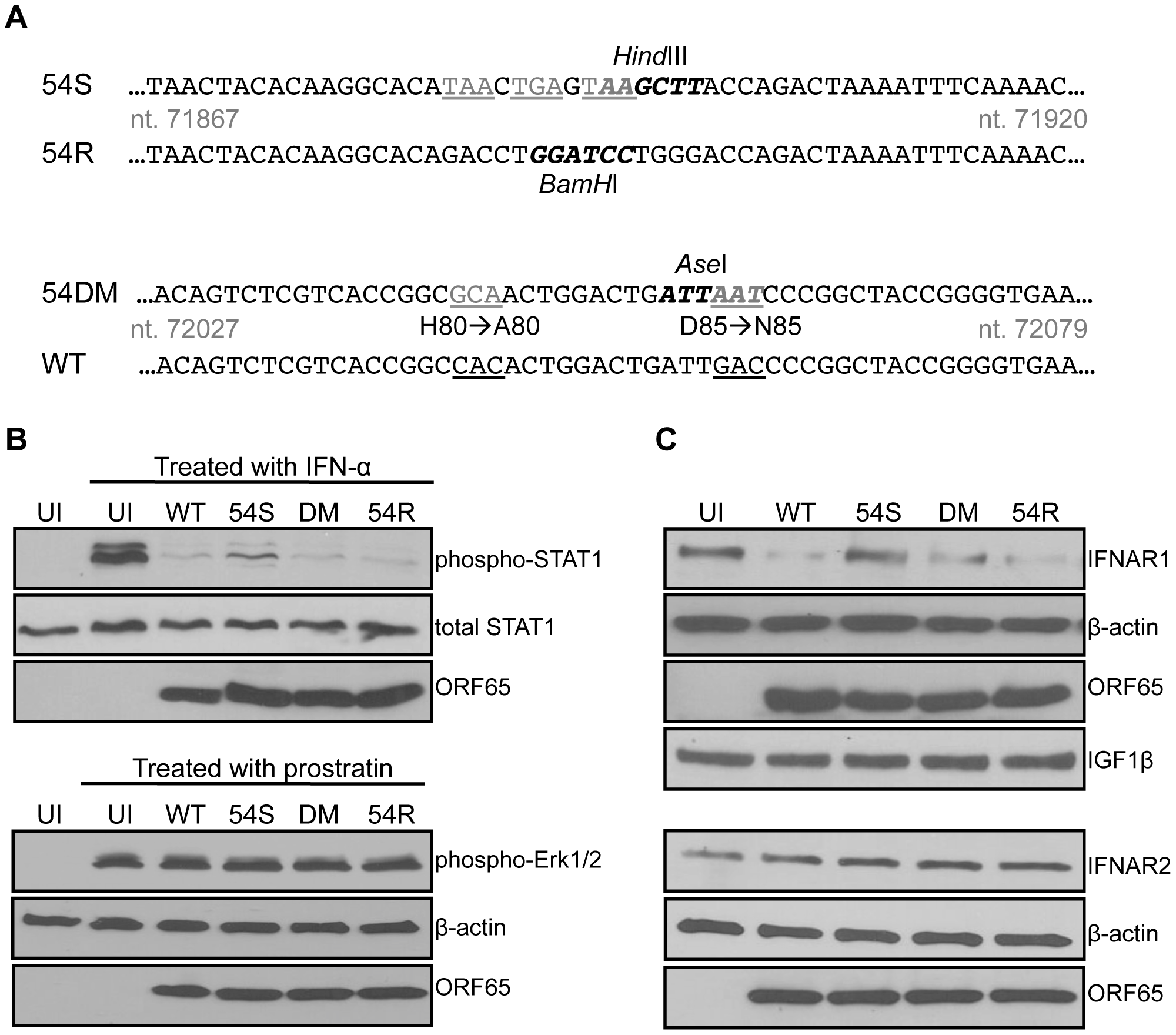 An ORF54-null virus has incomplete degradation of IFNAR1.