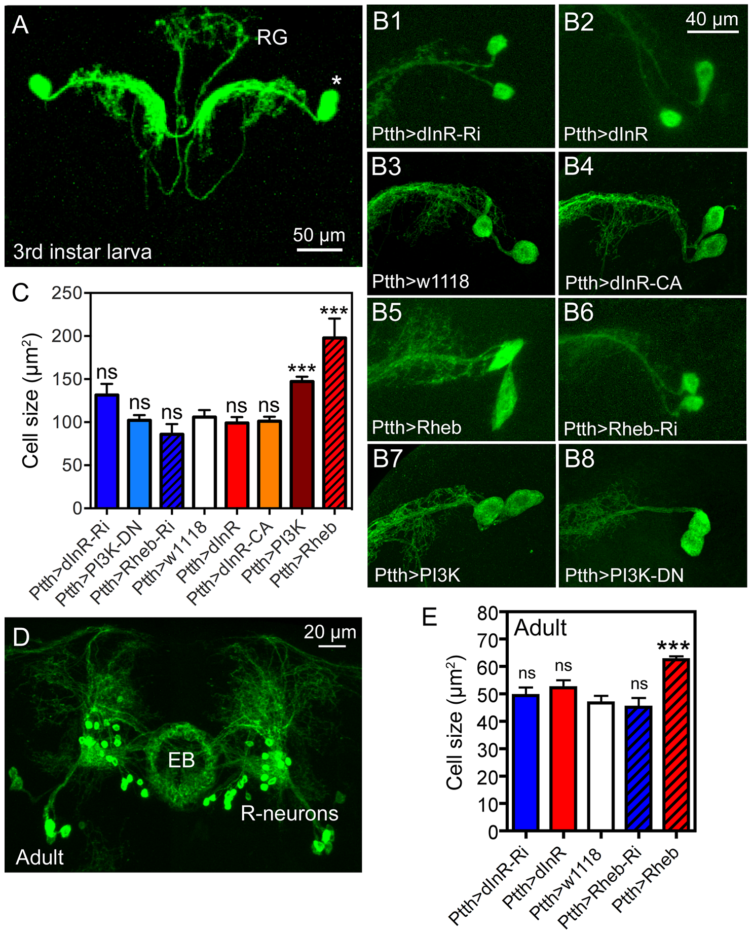 Dimm-negative neurosecretory cells are not affected by dInR manipulations, but by Rheb and PI3K overexpression.