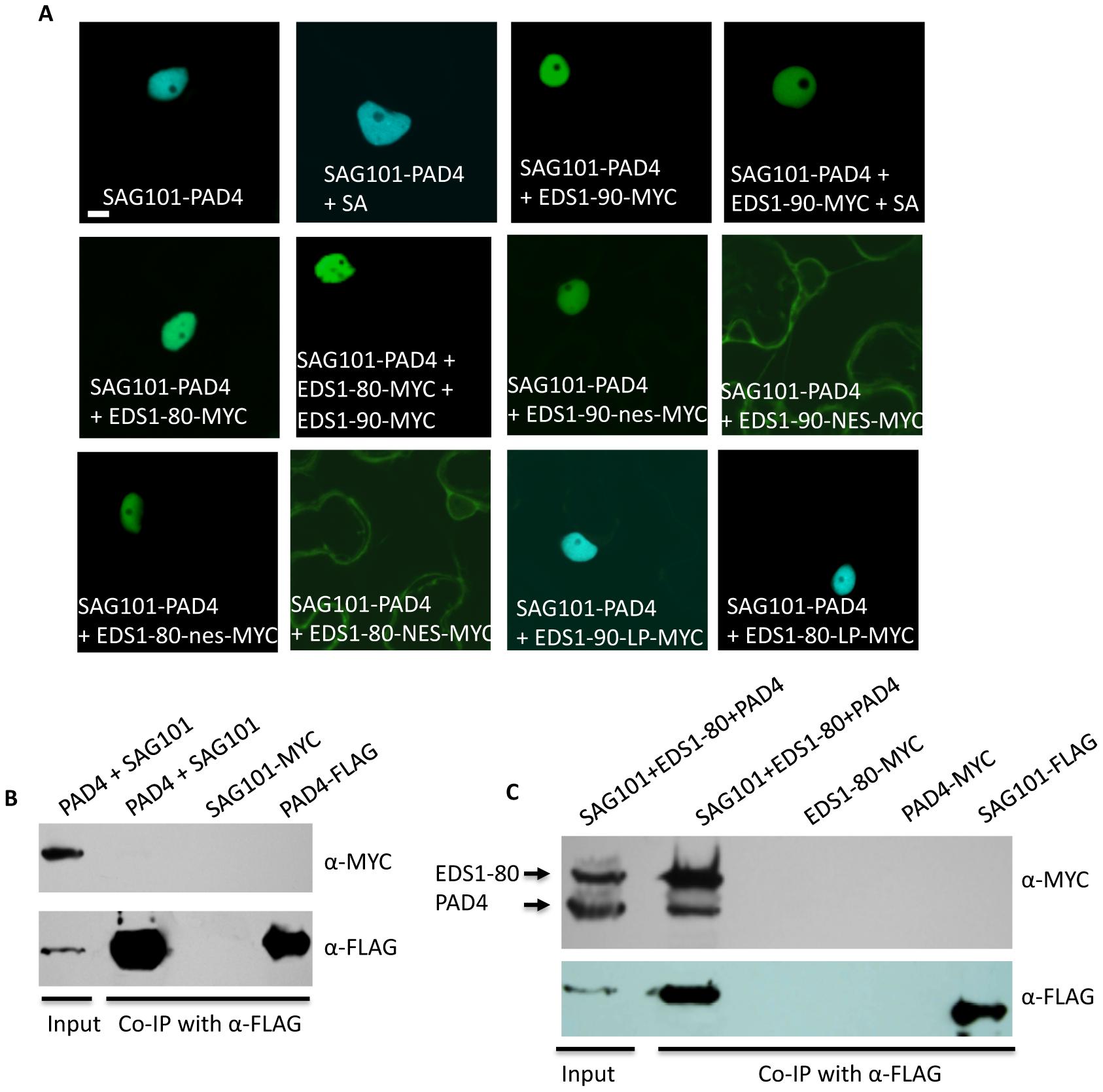 EDS1 facilitates the interaction between SAG101 and PAD4.