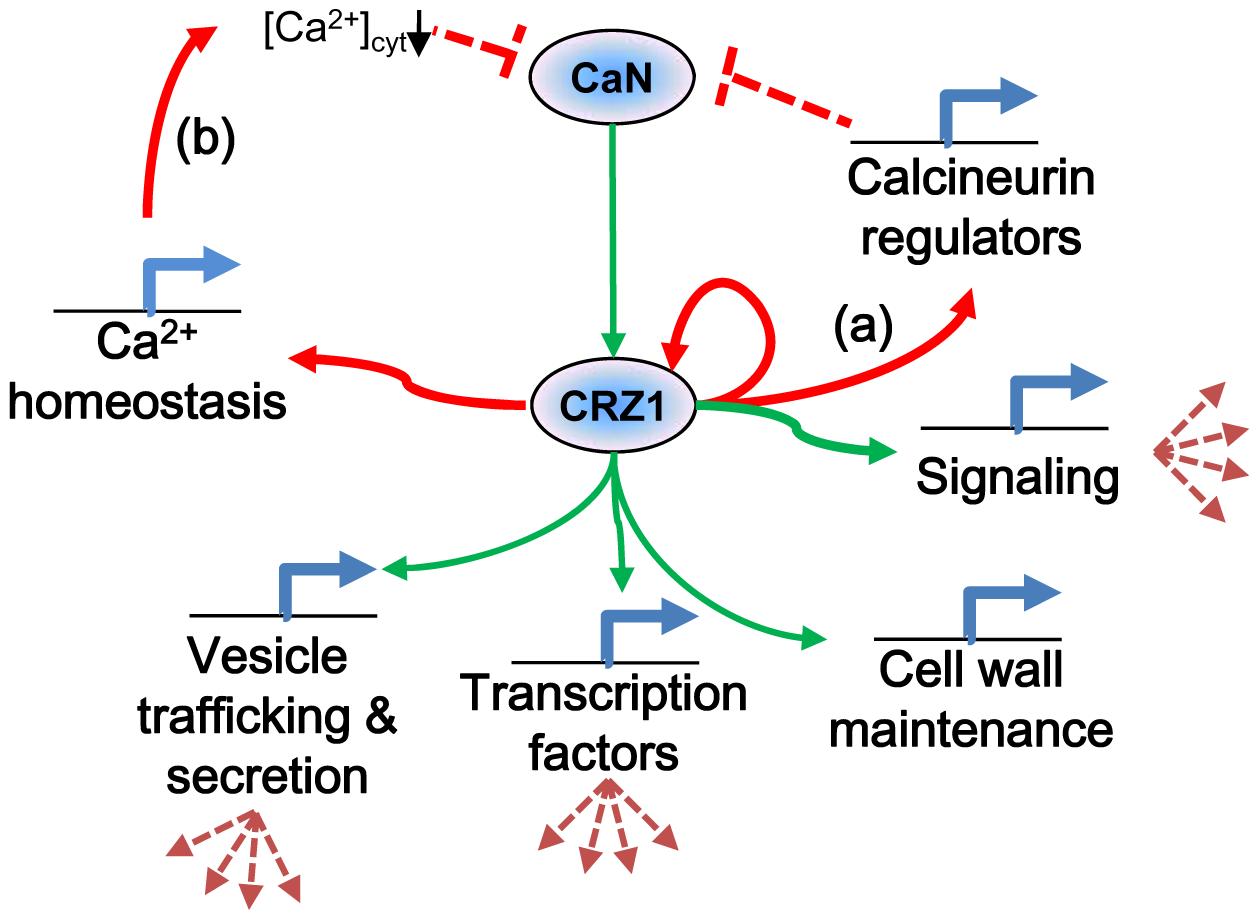 Proposed model of MoCRZ1 regulation of downstream genes.