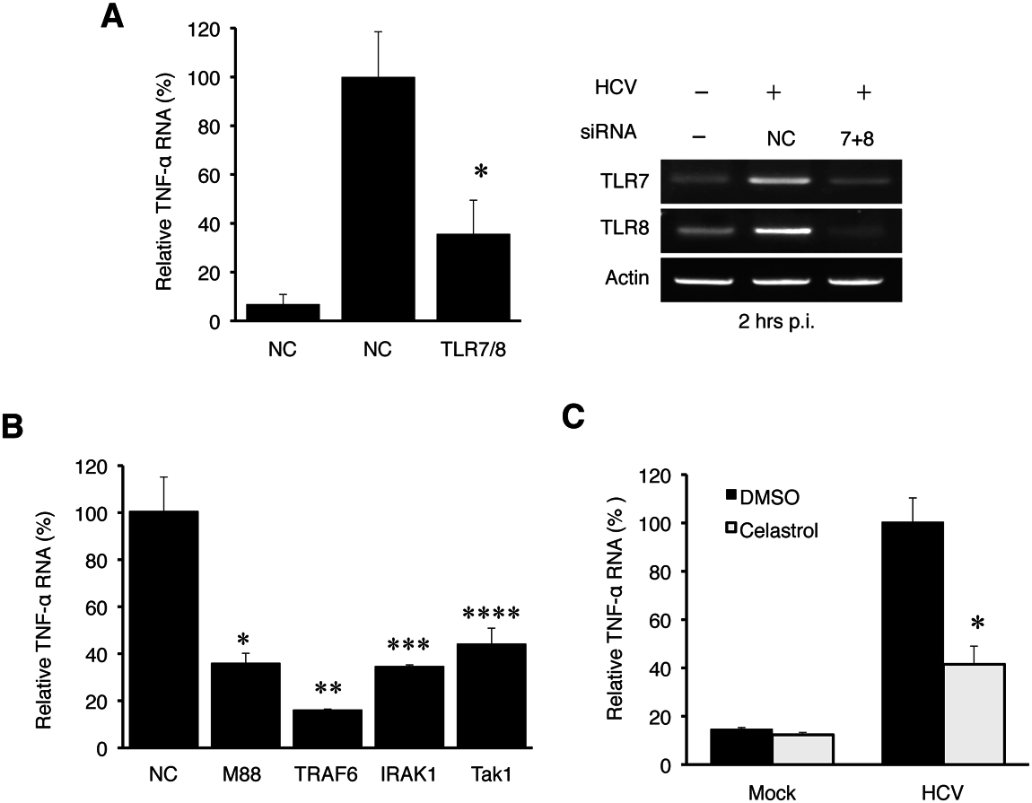 TNF-α induction by HCV is dependent on the TLR7 and TLR8 signaling pathway.