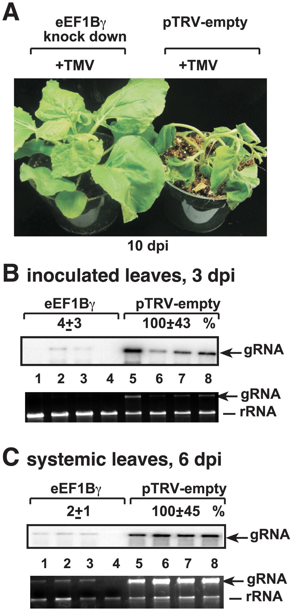 Knockdown of eEF1Bγ inhibits TMV RNA replication in <i>N. benthamiana</i> plants.