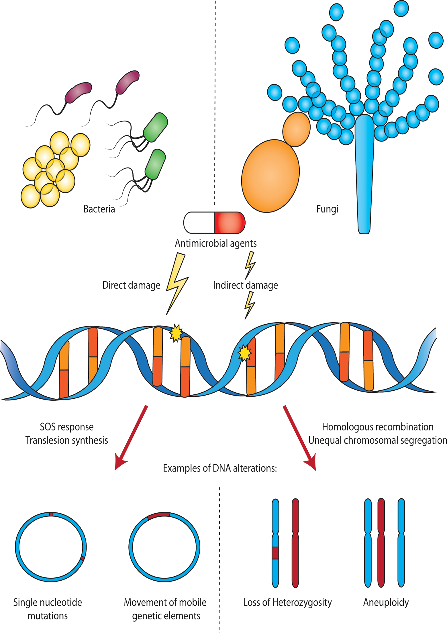 Antimicrobial-induced DNA damage in bacterial and fungal pathogens.